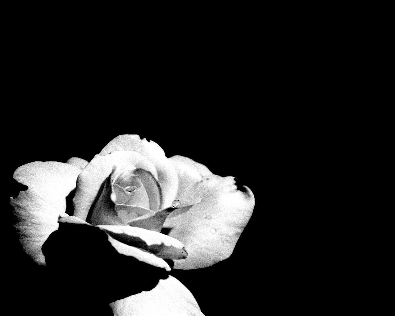381 скачать обои Растения, Цветы, Розы - заставки и картинки бесплатно