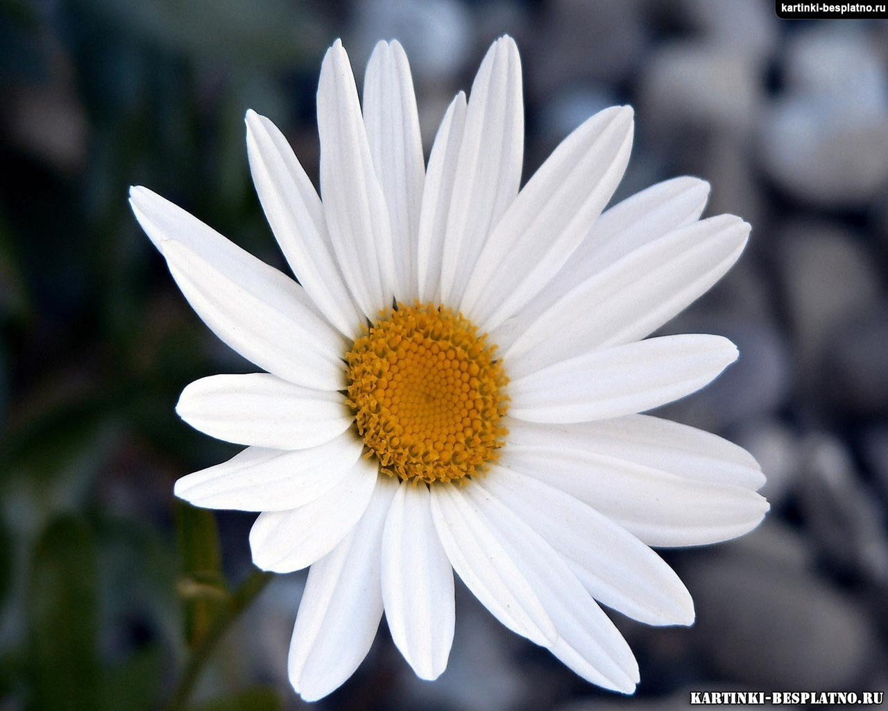 10685 download wallpaper Plants, Flowers, Camomile screensavers and pictures for free
