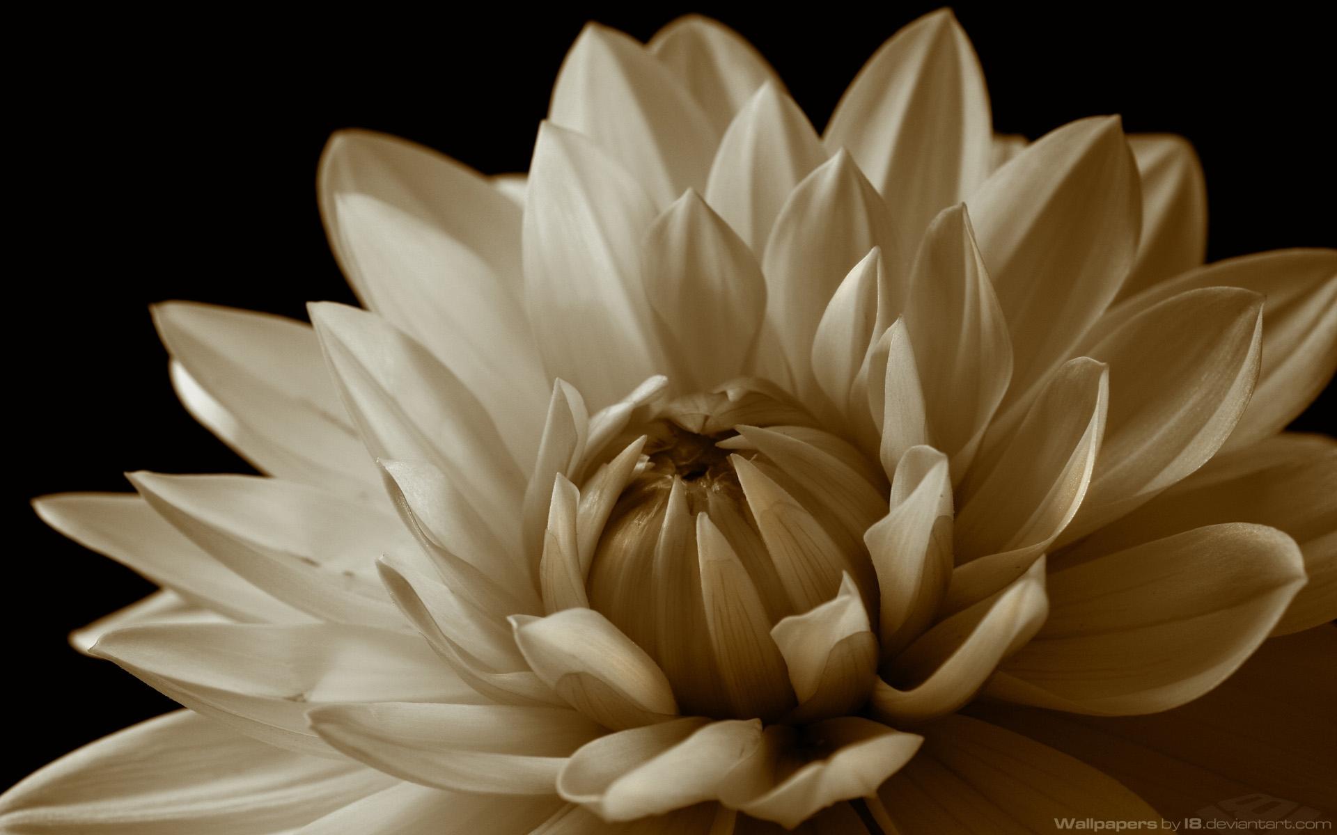 7899 скачать обои Растения, Цветы, Хризантемы - заставки и картинки бесплатно