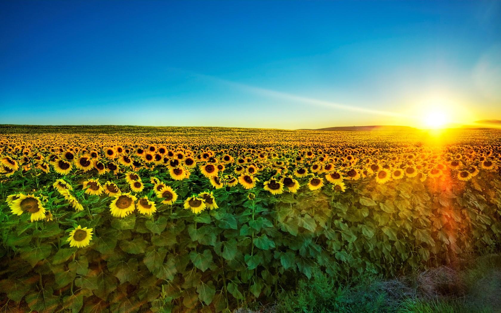 32330 免費下載壁紙 景观, 领域, 向日葵 屏保和圖片