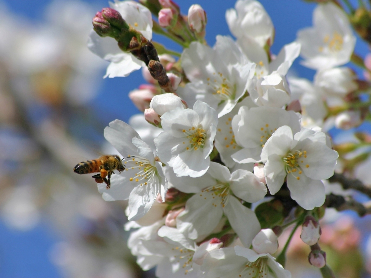 34634 Hintergrundbild herunterladen Insekten, Pflanzen, Blumen, Bienen - Bildschirmschoner und Bilder kostenlos