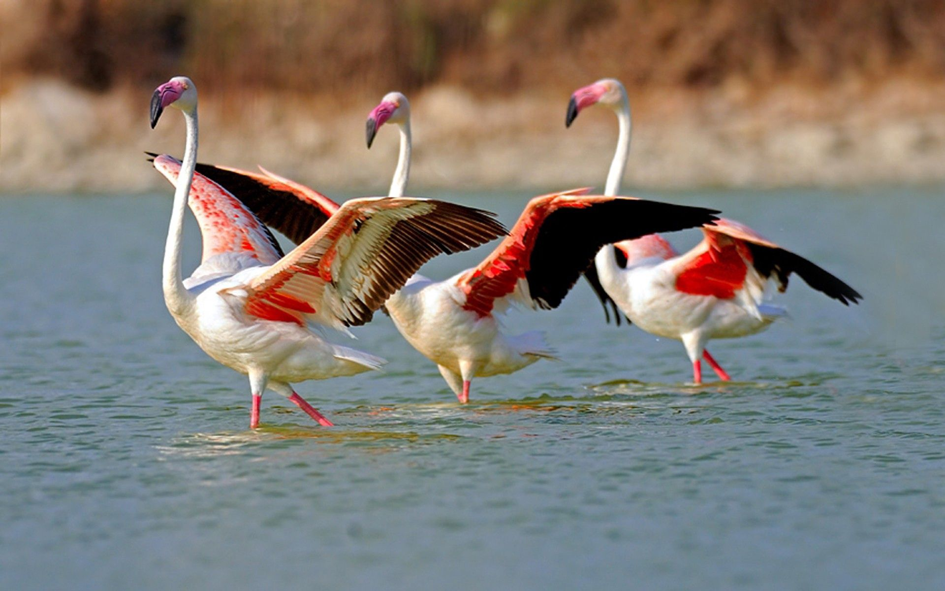 147348 Screensavers and Wallpapers Birds for phone. Download Animals, Flamingo, Lake, Water, Large, Big, Stroll, Birds pictures for free