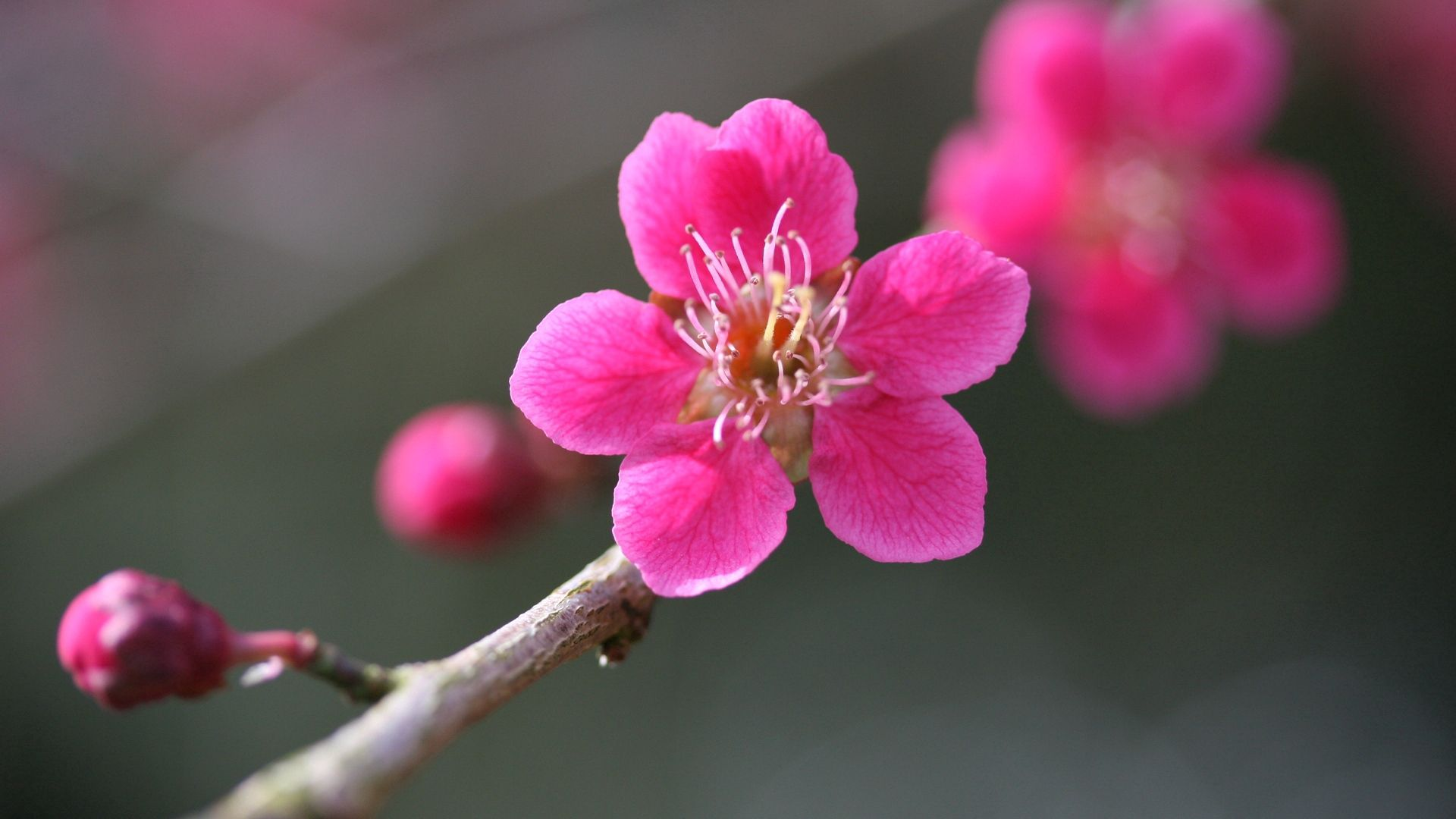 98828 Screensavers and Wallpapers Macro for phone. Download Flowering, Pink, Flower, Plant, Macro, Bloom pictures for free