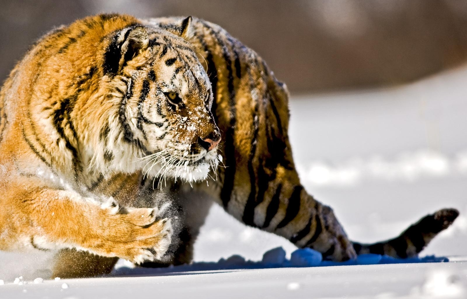 5645 download wallpaper Animals, Winter, Tigers, Snow screensavers and pictures for free