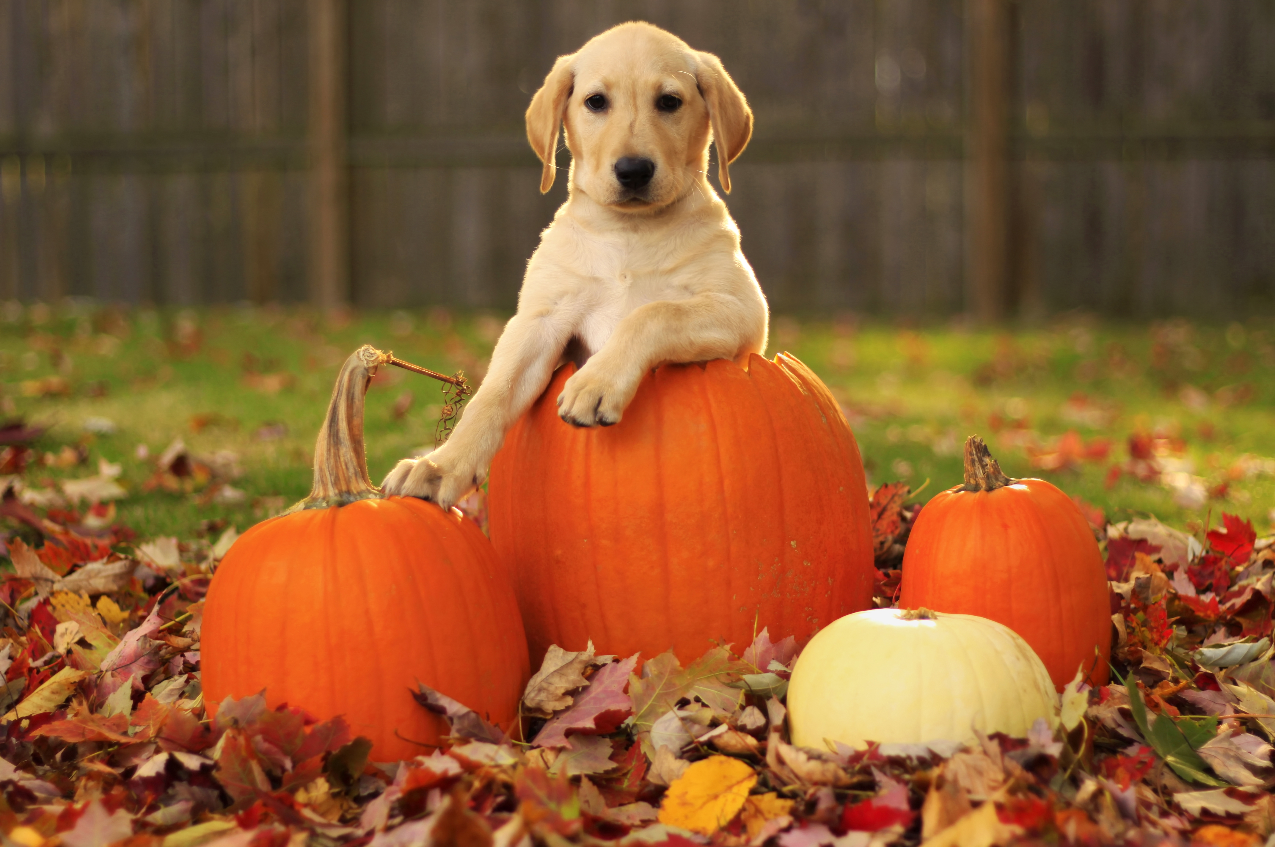 124086 download wallpaper Pumpkin, Animals, Autumn, Leaves, Dog, Puppy, Labrador Retriever screensavers and pictures for free