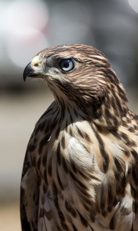 154234 download wallpaper Animals, Hawk, Bird, Beak, Feather screensavers and pictures for free