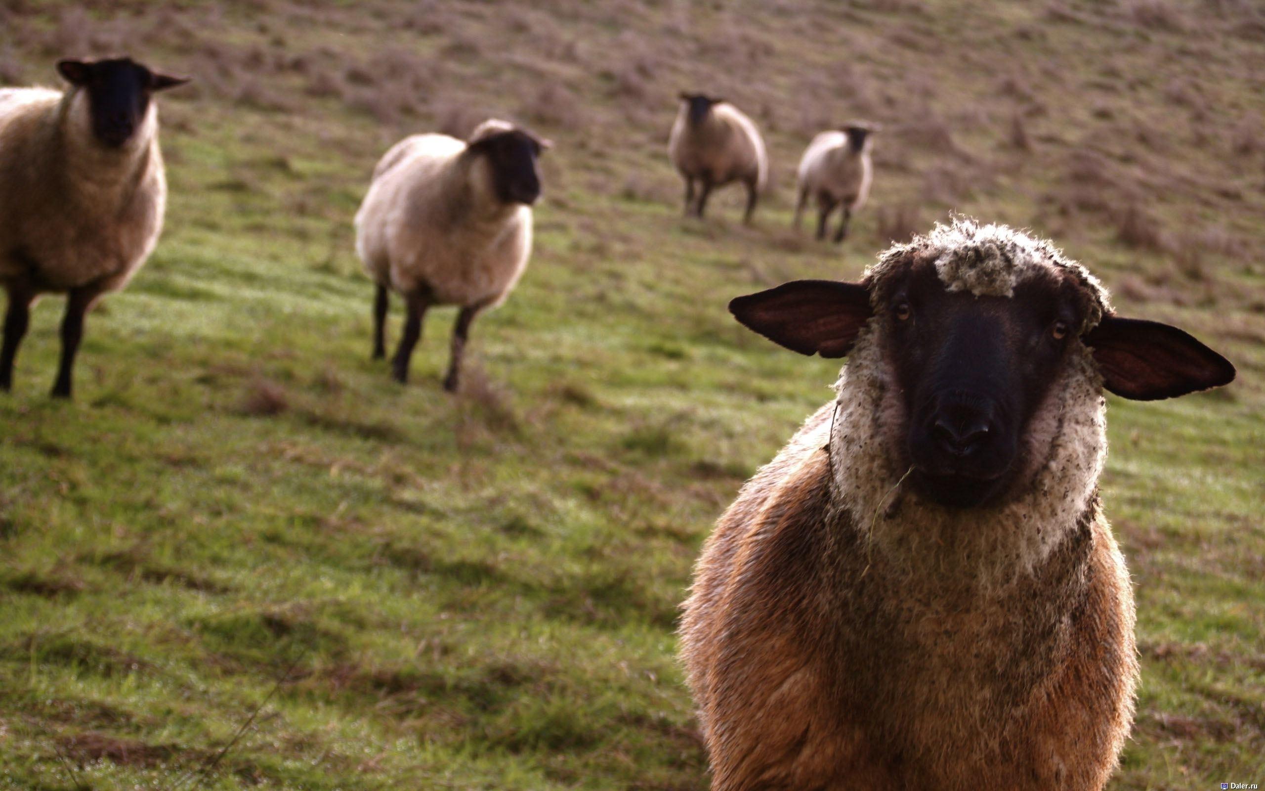 49091 Hintergrundbild herunterladen Tiere, Rams - Bildschirmschoner und Bilder kostenlos