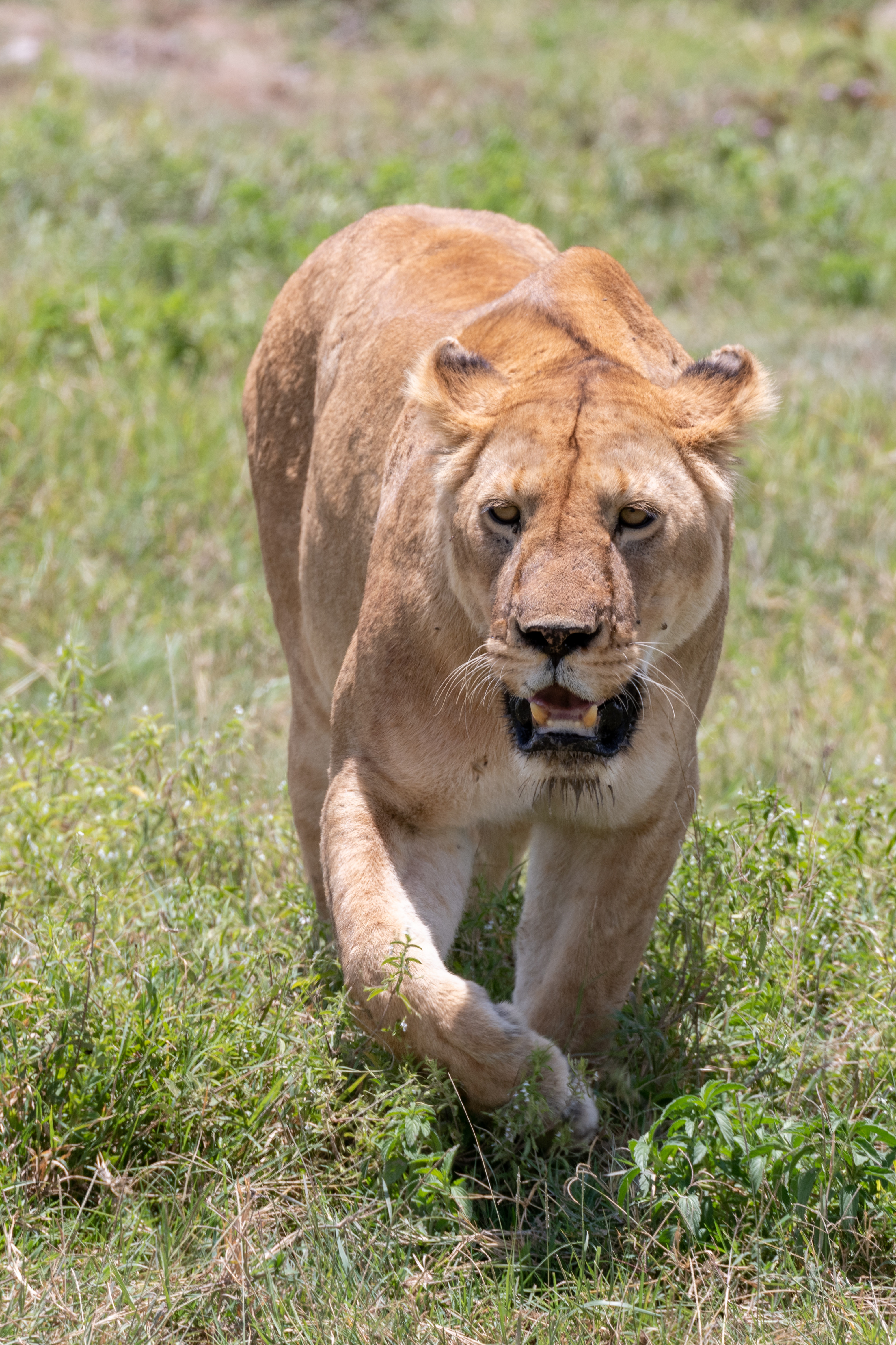 67030 download wallpaper Animals, Lioness, Big Cat, Predator, Grass, To Fall, Mouth screensavers and pictures for free