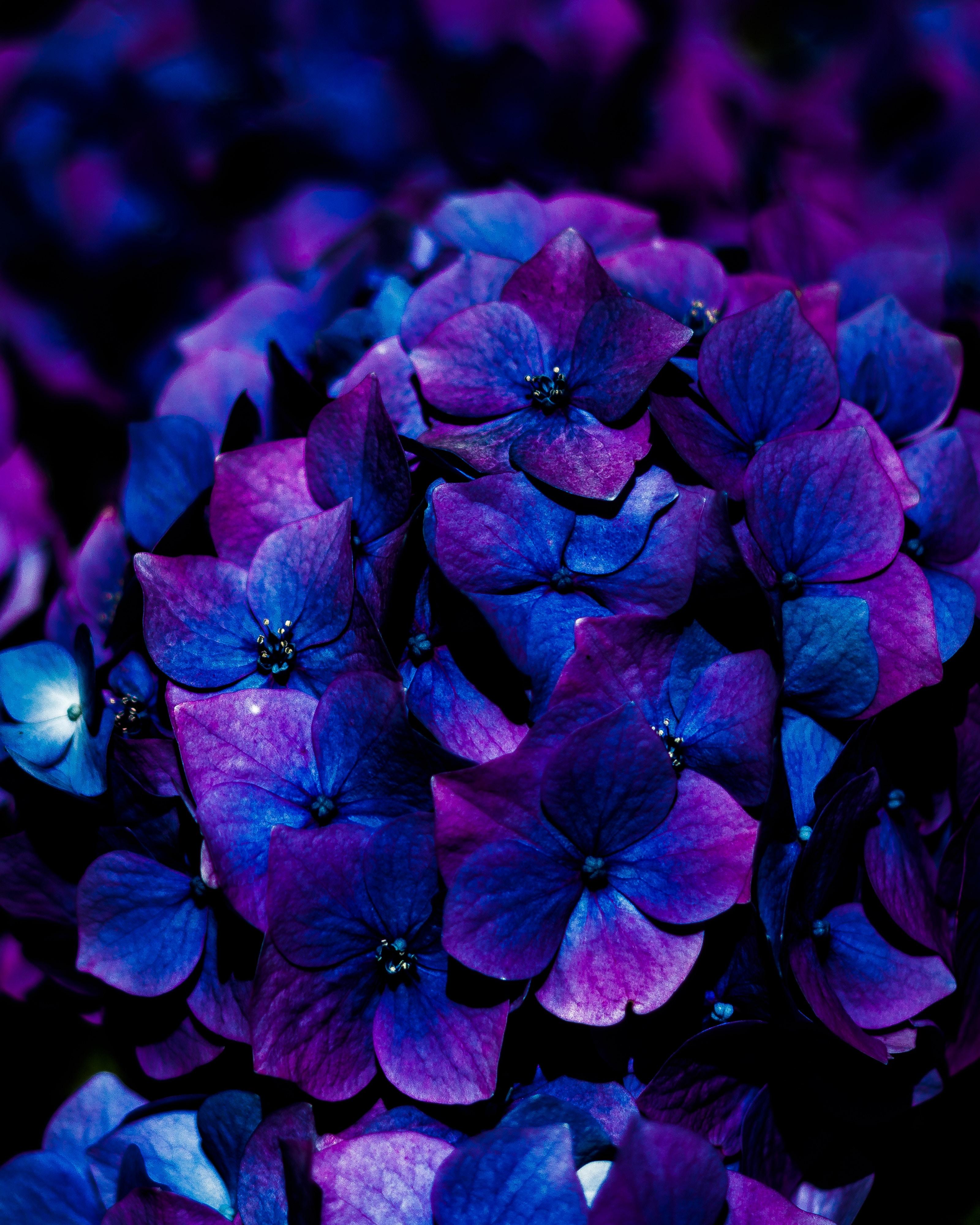 127173 завантажити шпалери Квіти, Синій, Цвітіння, Гортензія, Гортензії, Суцвіття - заставки і картинки безкоштовно