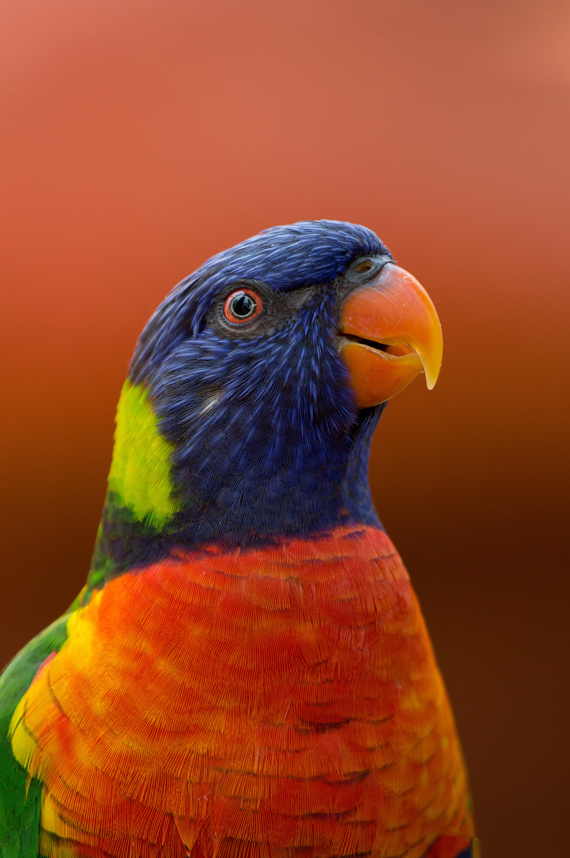 86063 Hintergrundbild 720x1280 kostenlos auf deinem Handy, lade Bilder Tiere, Papageien, Vogel, Schnabel, Wilde Natur, Wildlife, Exotisch 720x1280 auf dein Handy herunter