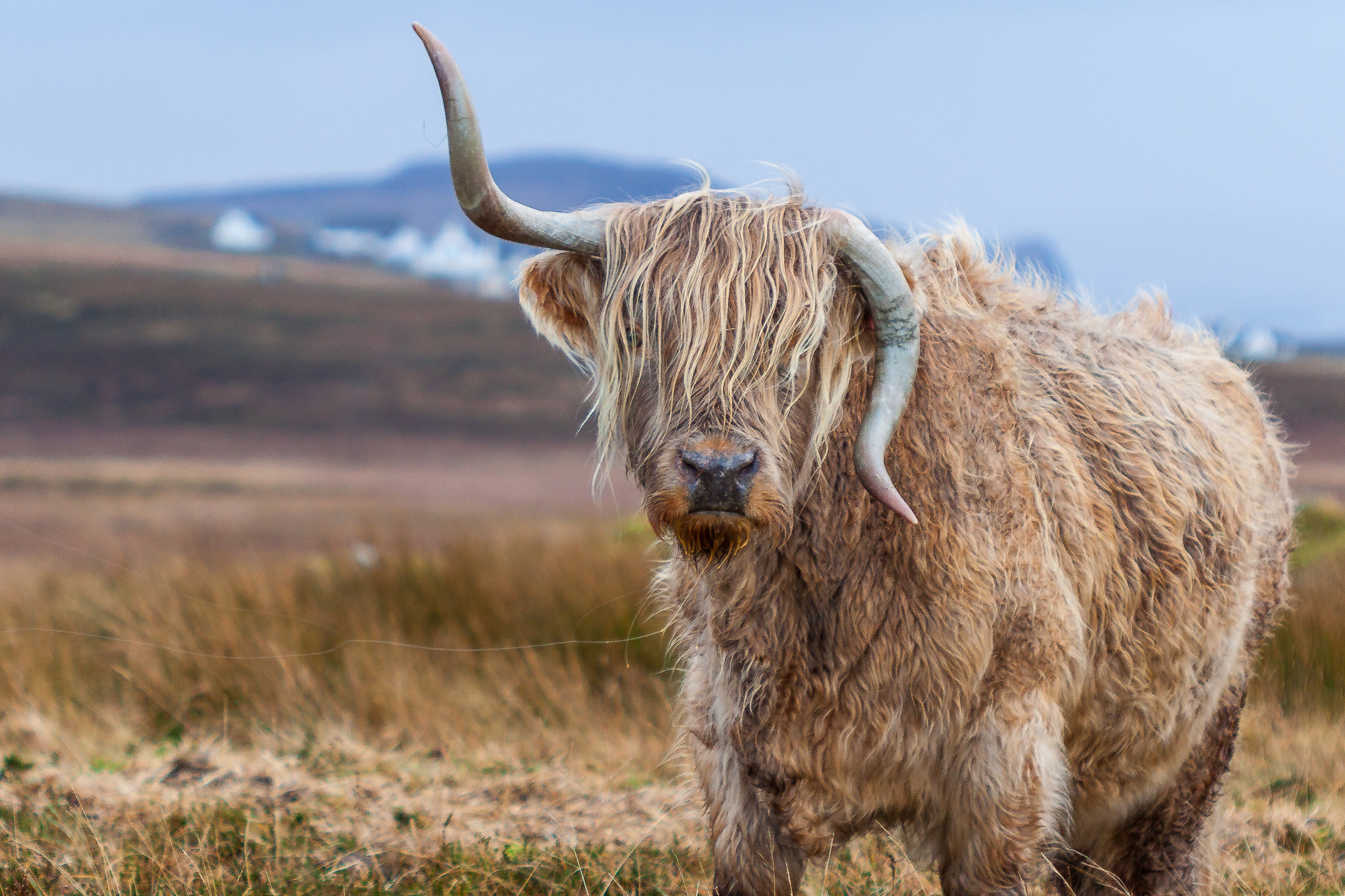 96725 download wallpaper Animals, Bull, Horns, Wool screensavers and pictures for free