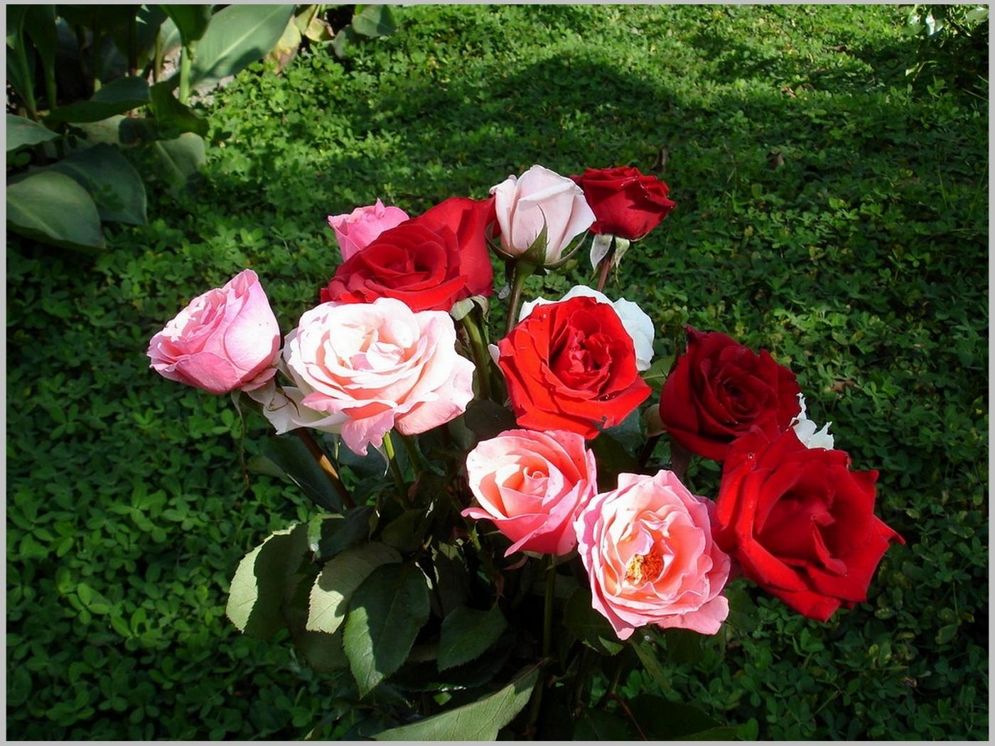 48700 скачать обои Растения, Цветы, Розы - заставки и картинки бесплатно