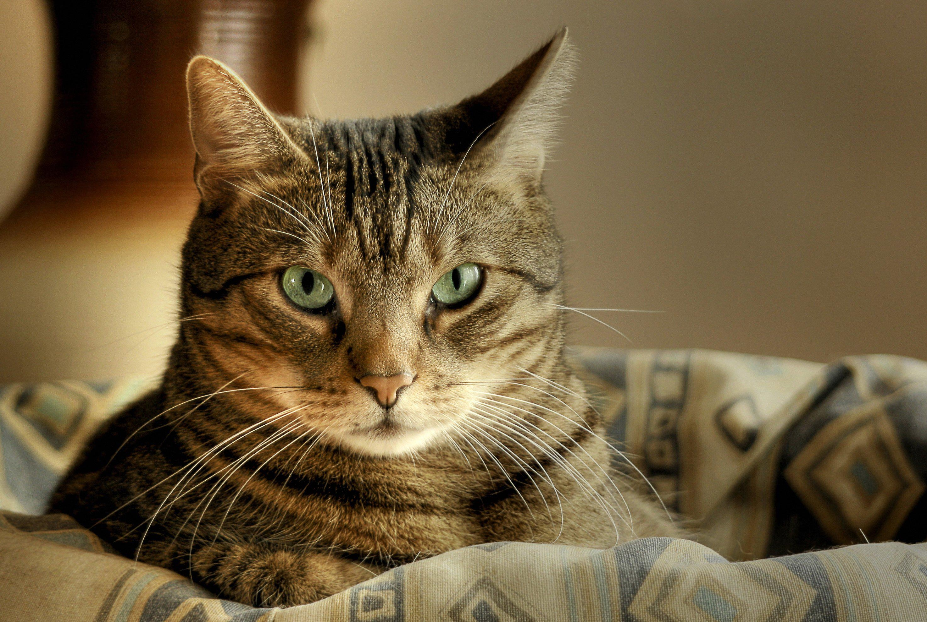 157531 download wallpaper Animals, Cat, Muzzle, Sight, Opinion screensavers and pictures for free