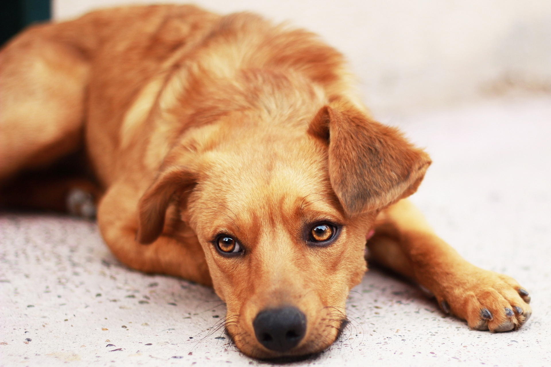 120426 download wallpaper Animals, Dog, Puppy, Muzzle, To Lie Down, Lie, Sadness, Sorrow, Sight, Opinion screensavers and pictures for free
