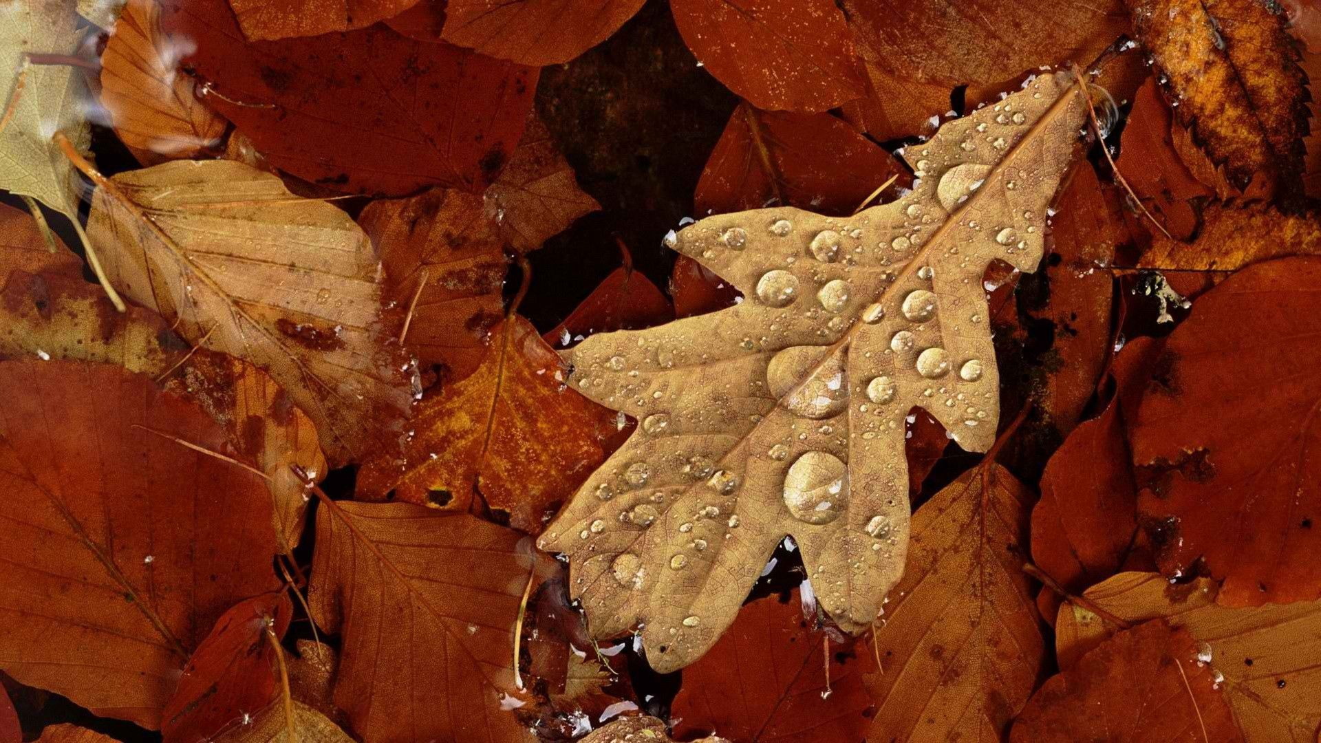 116601 download wallpaper Macro, Leaves, Autumn, Dry, Moisture, Drops screensavers and pictures for free