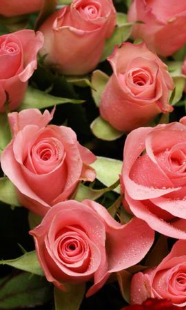 43656 скачать обои Растения, Цветы, Розы - заставки и картинки бесплатно