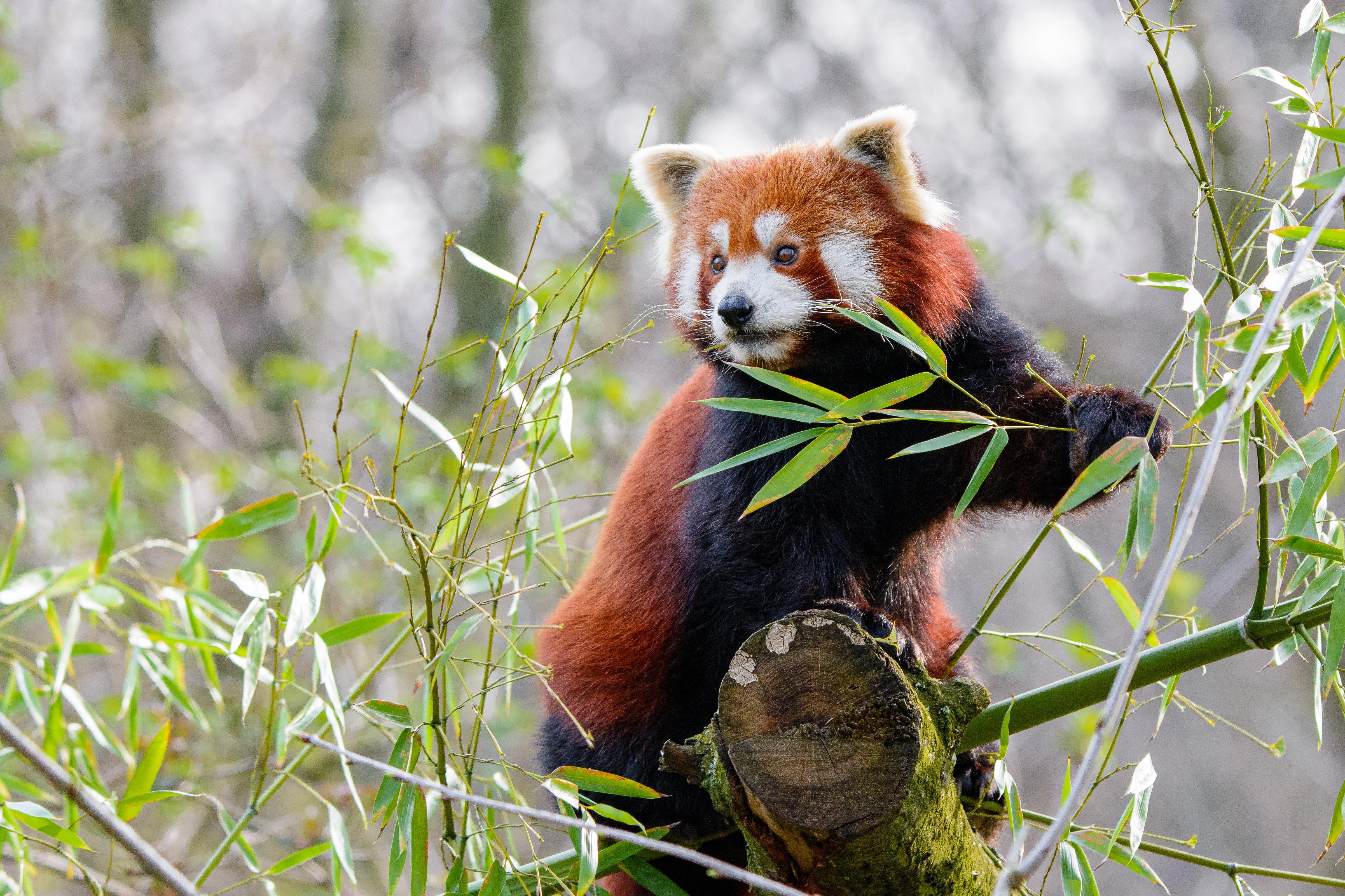 88906 скачать обои Животные, Красная Панда, Животное, Милый - заставки и картинки бесплатно