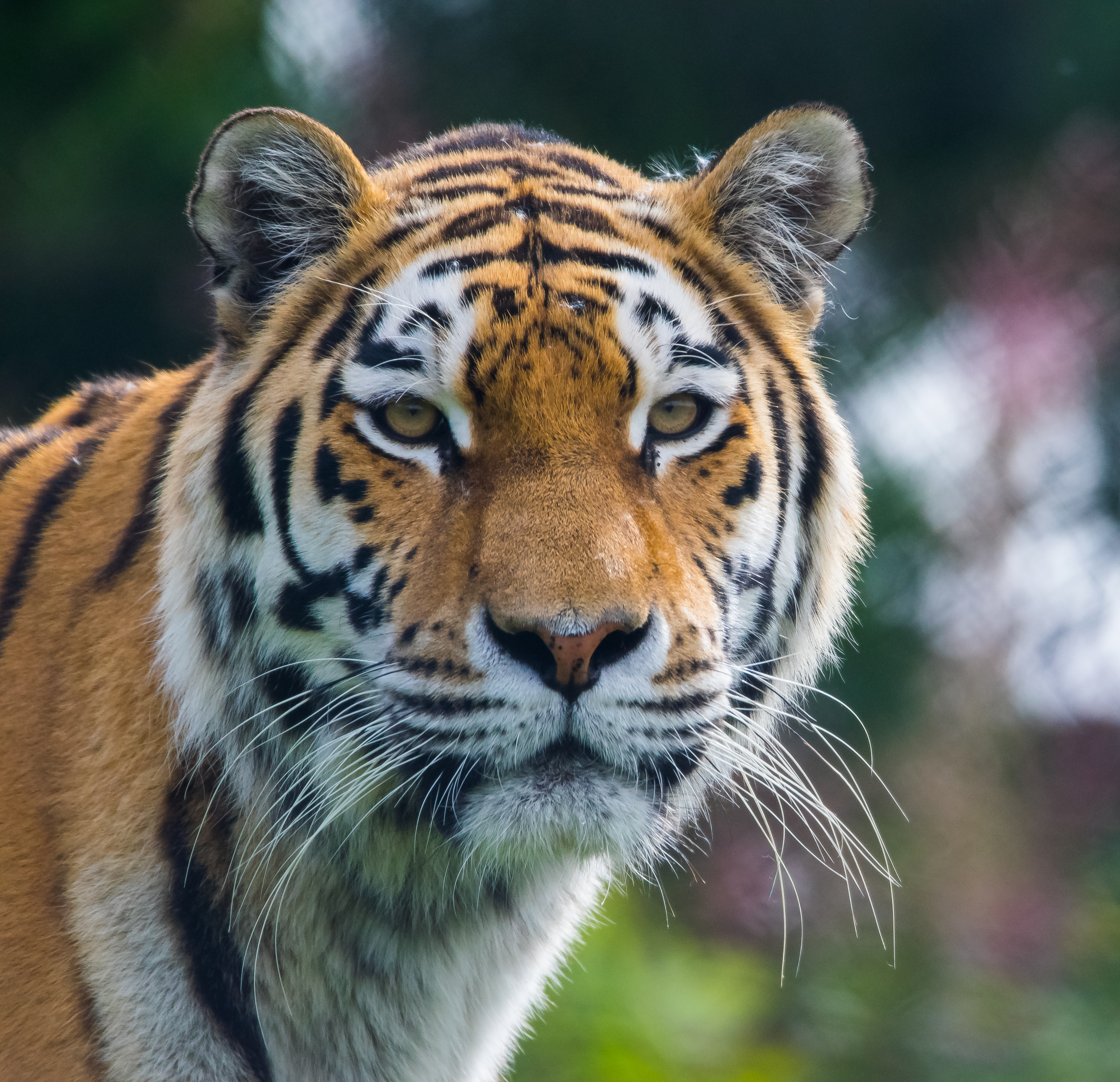127720 download wallpaper Animals, Tiger, Predator, Big Cat, Animal screensavers and pictures for free