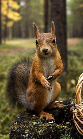 157989 Salvapantallas y fondos de pantalla Hierba en tu teléfono. Descarga imágenes de Animales, Ardilla, Hierba, Cesta, Canasta, Verano, Verduras gratis