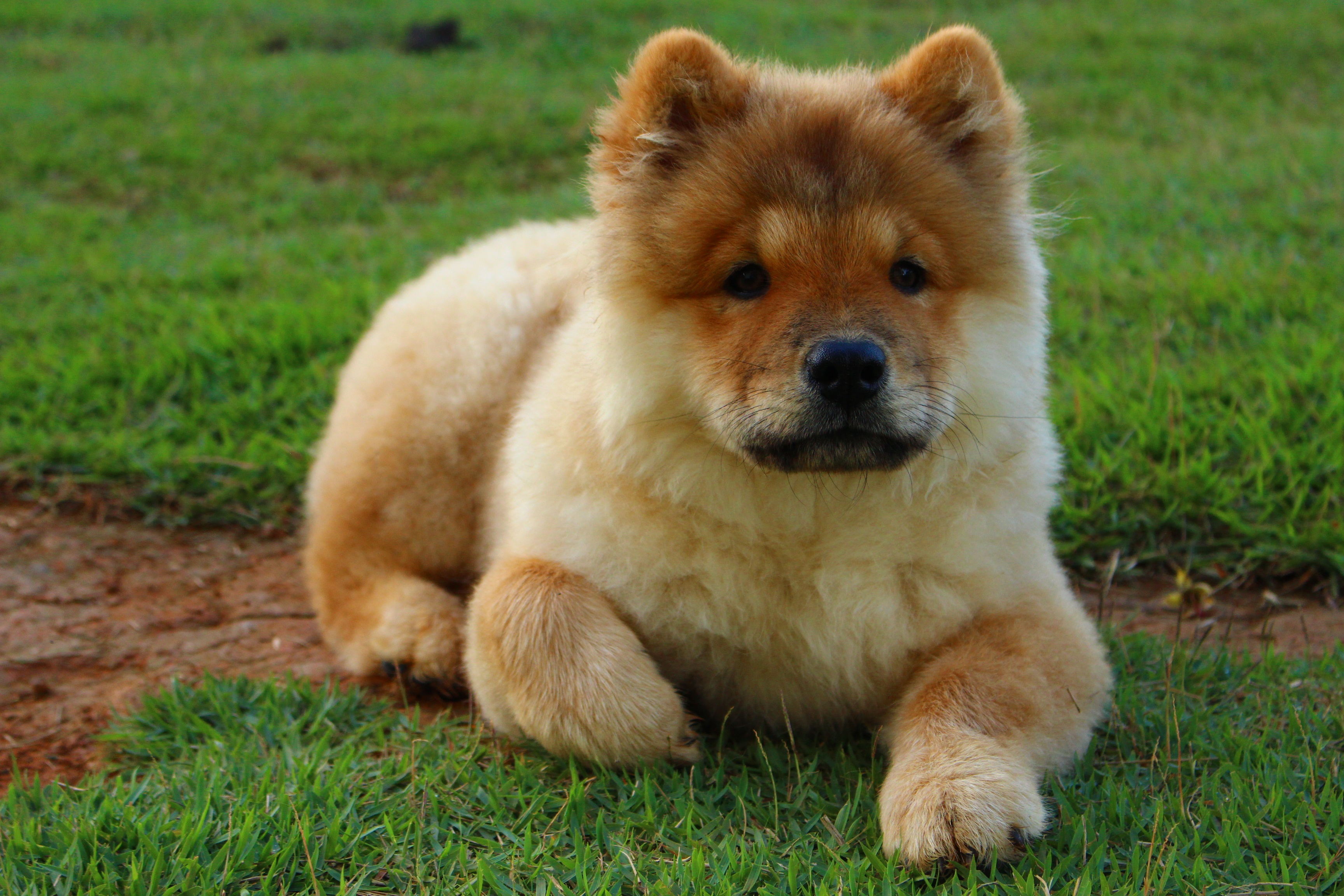 89547 download wallpaper Animals, Chow Chow, Dog, Puppy, To Lie Down, Lie screensavers and pictures for free