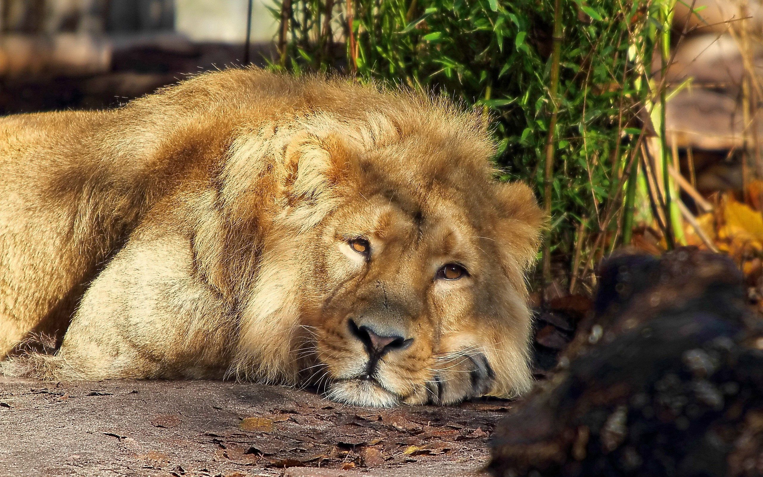 126811 download wallpaper Animals, Lion, Sleep, Dream, King Of Beasts, King Of The Beasts, Mane screensavers and pictures for free