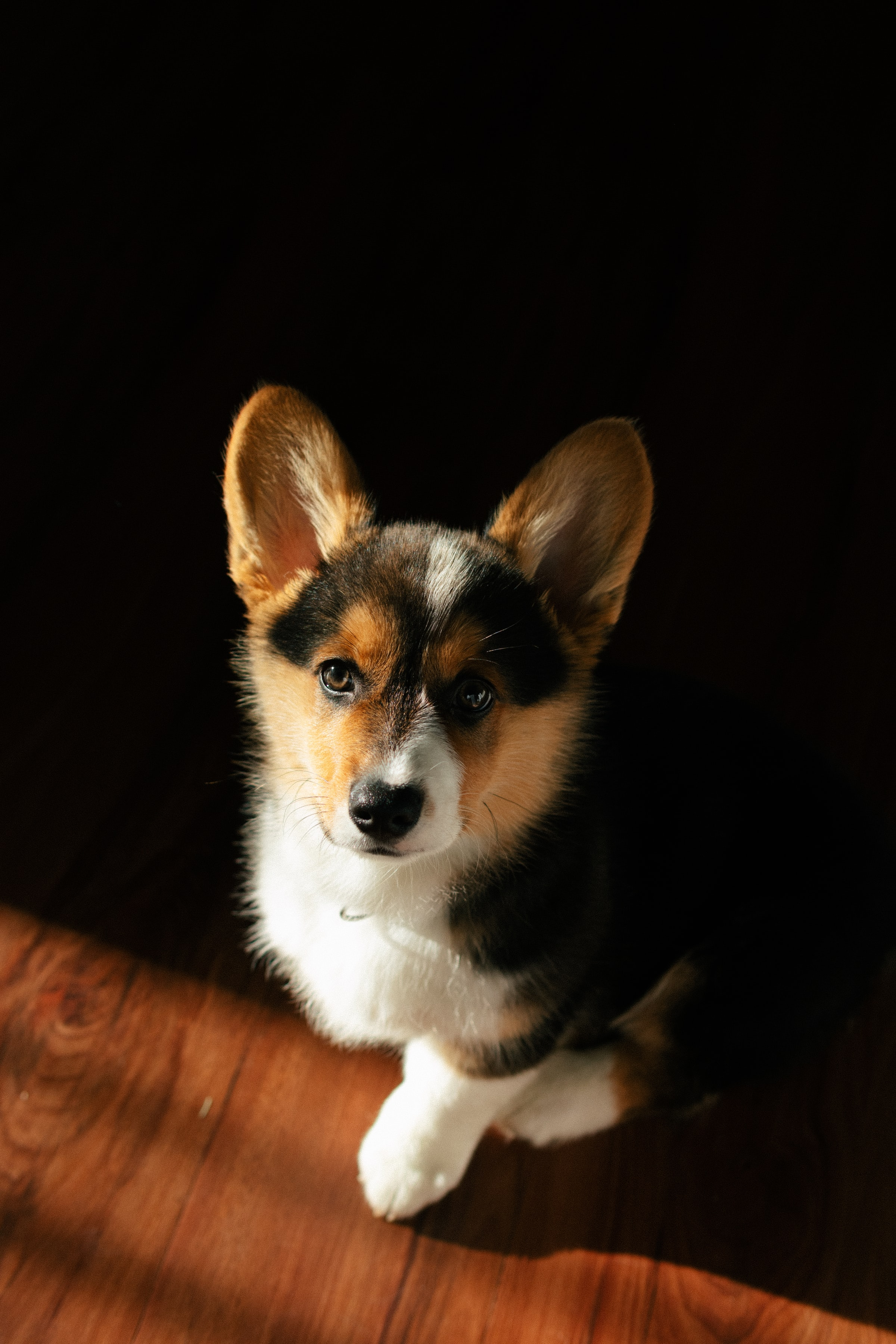 79924 download wallpaper Animals, Corgi, Dog, Puppy, Pet screensavers and pictures for free
