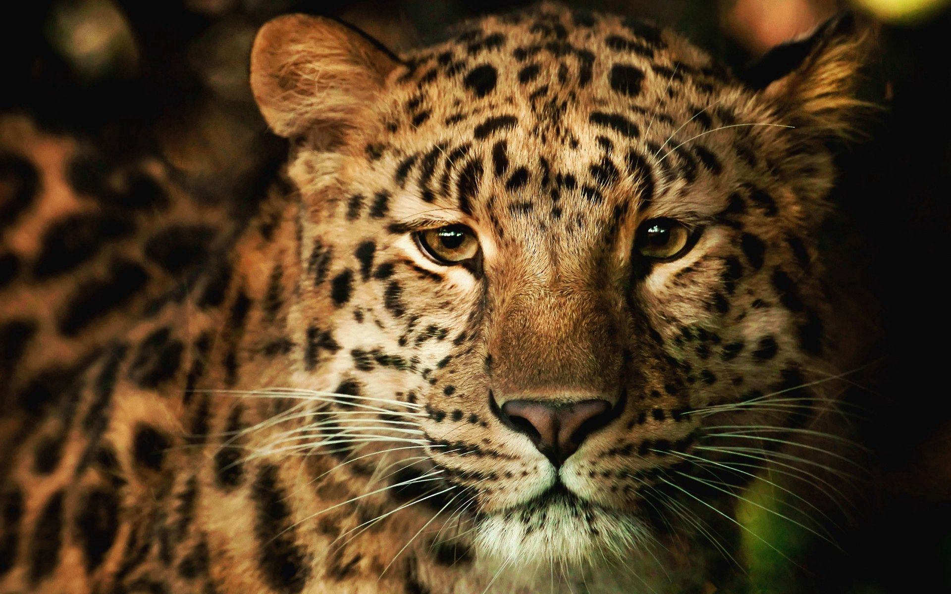 128874 Screensavers and Wallpapers Nose for phone. Download Animals, Leopard, Muzzle, Spotted, Spotty, Nose pictures for free