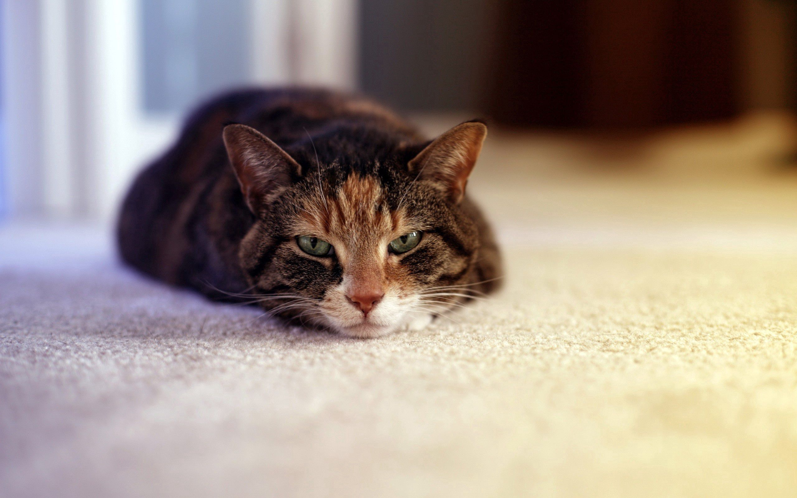 126135 download wallpaper Animals, Cat, Lies, Muzzle, Sleepy screensavers and pictures for free
