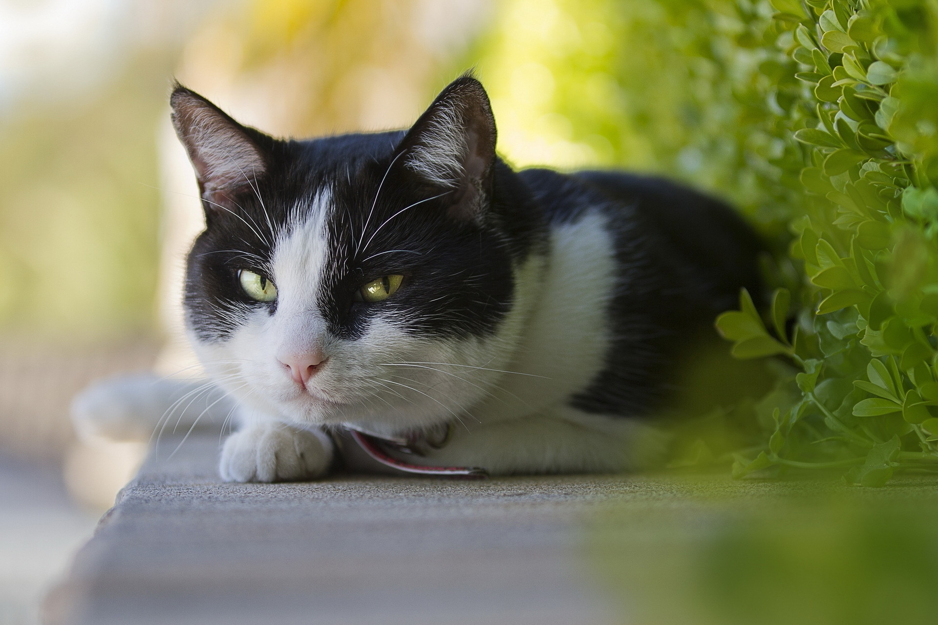 150582 download wallpaper Animals, Cat, Muzzle, Sight, Opinion, To Lie Down, Lie screensavers and pictures for free