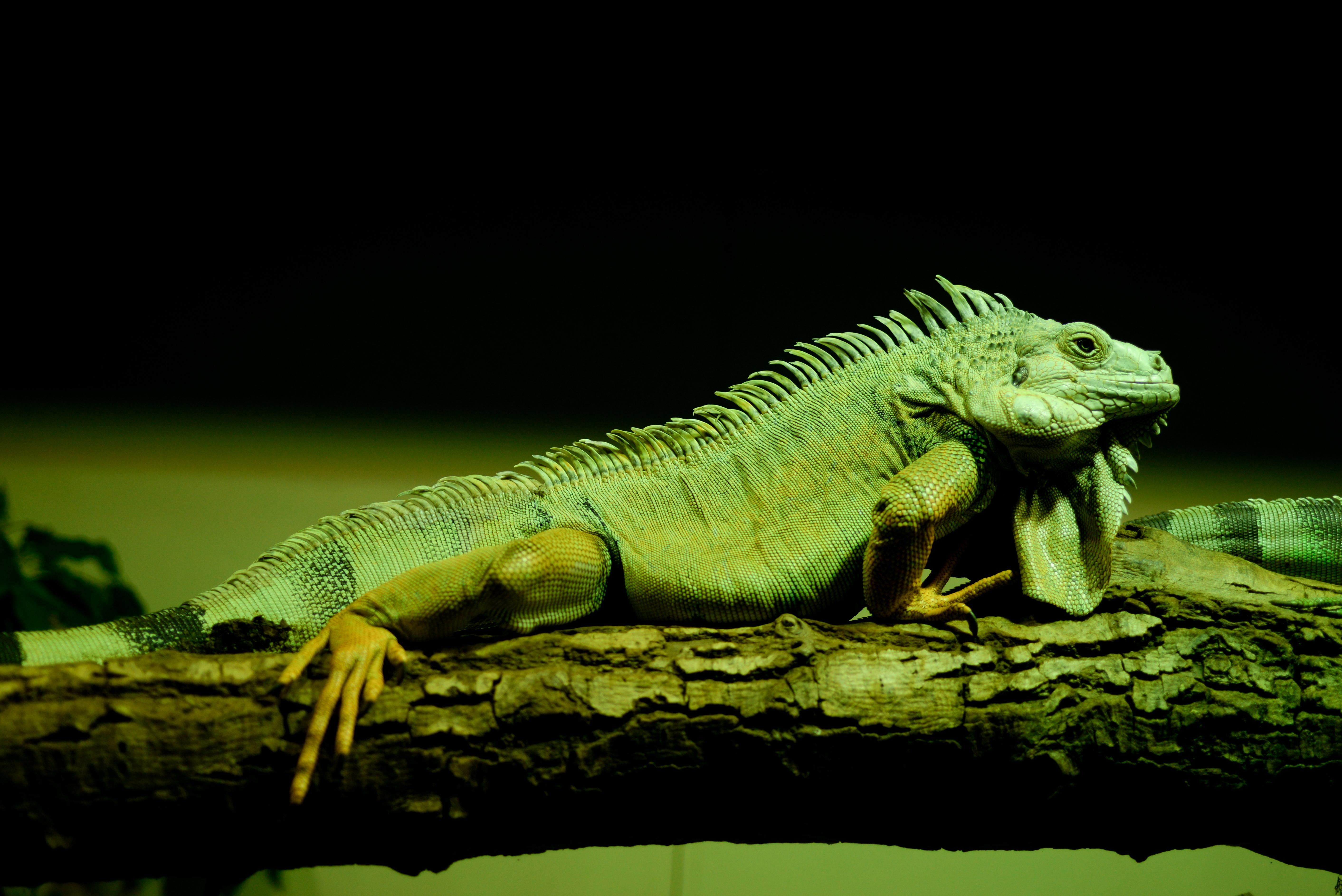 78057 Hintergrundbild herunterladen Tiere, Eidechse, Reptil, Reptile, Waage, Skala, Amphibie, Amphibien - Bildschirmschoner und Bilder kostenlos