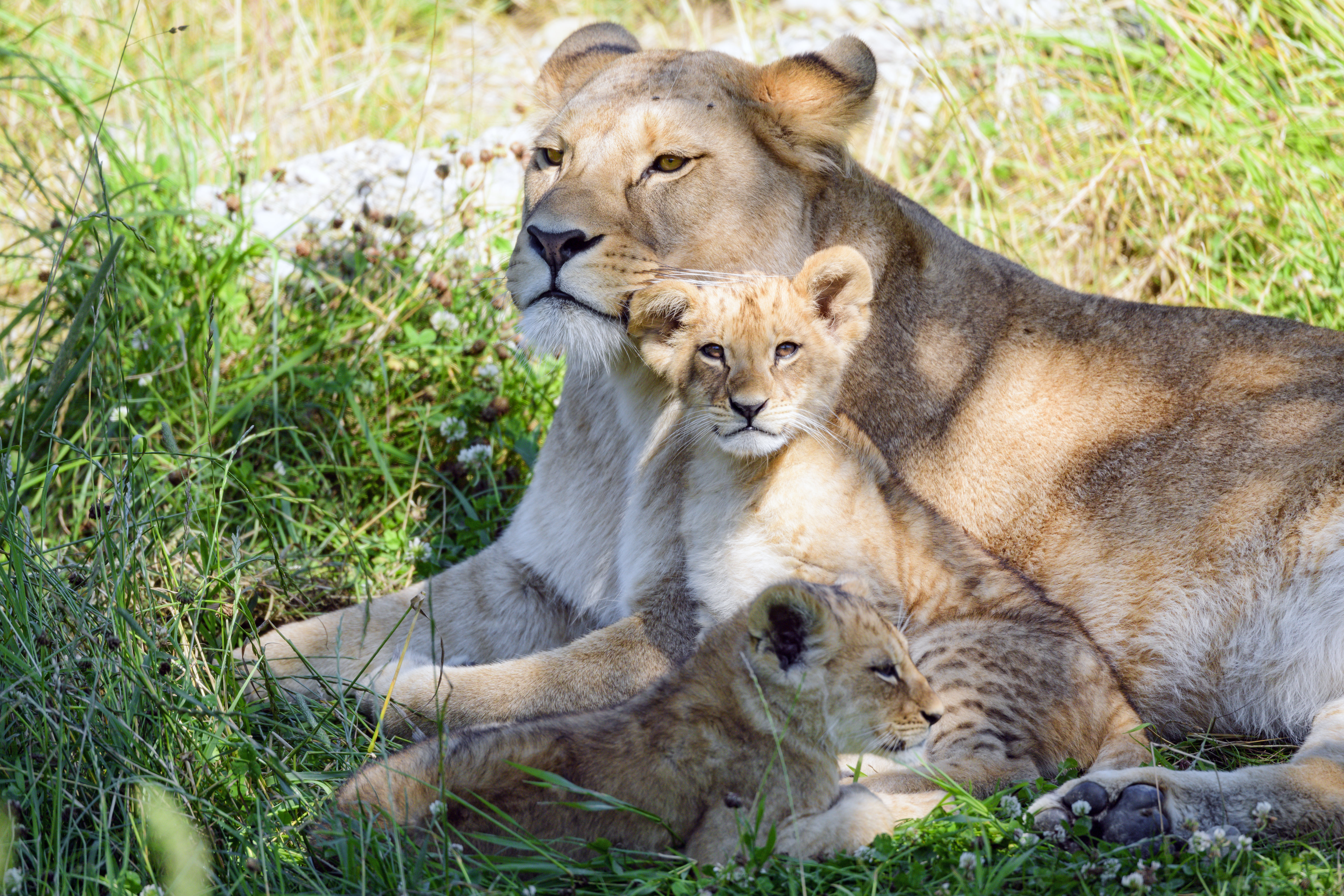 101178 download wallpaper Animals, Lioness, Young, Joey, Family, Nicely, Nice, Care, Grass screensavers and pictures for free