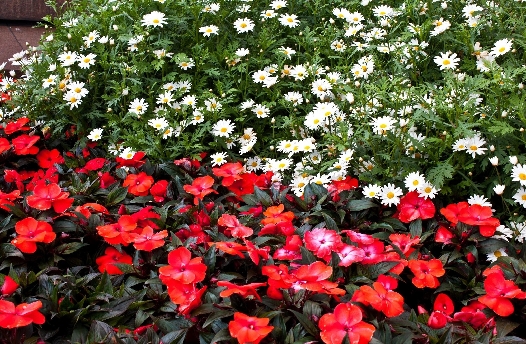 116363 download wallpaper Flowers, Camomile, Balsams, Balsamins, Flower Bed, Flowerbed screensavers and pictures for free