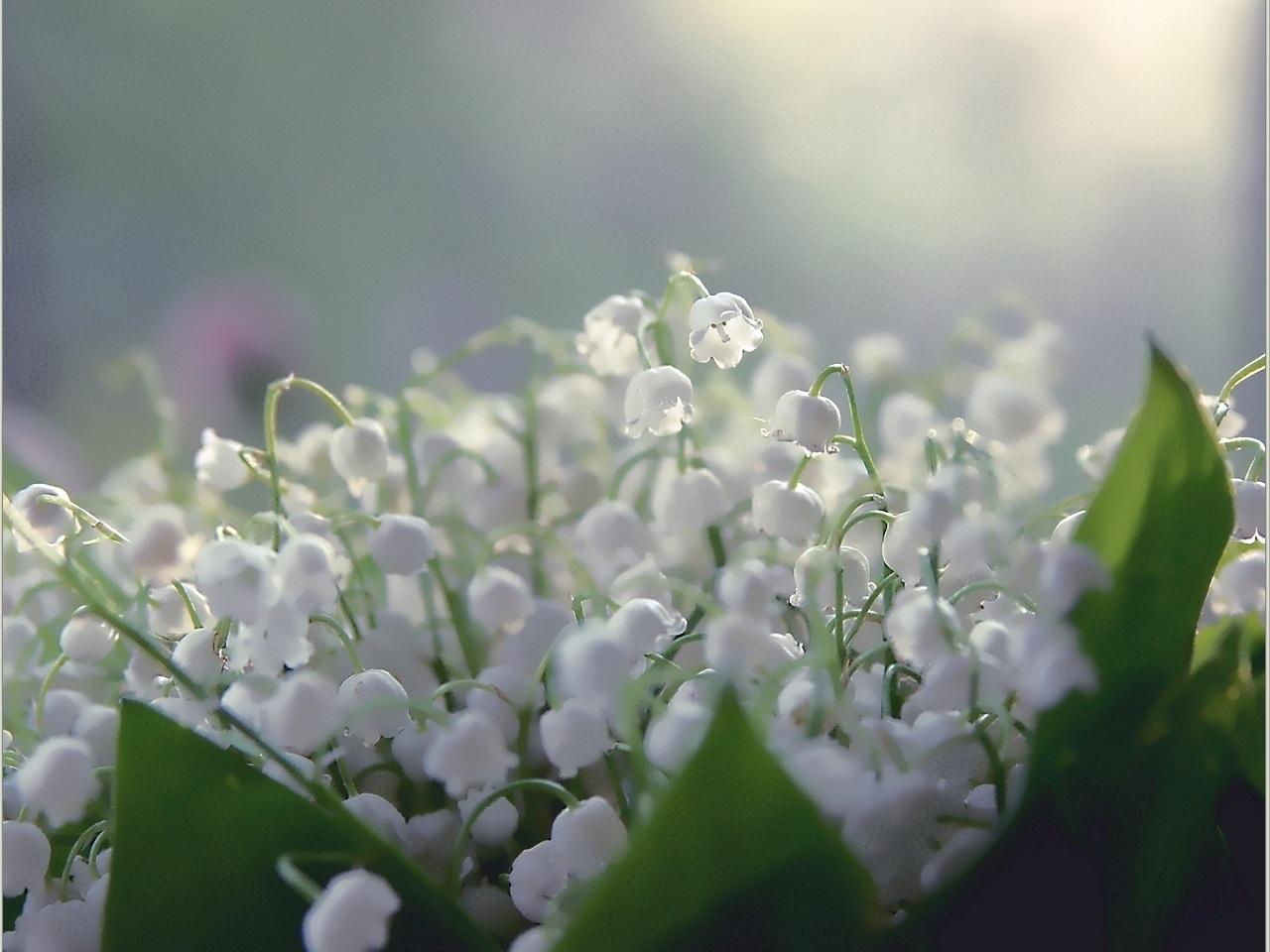 30833 скачать обои Ландыши, Растения, Цветы - заставки и картинки бесплатно