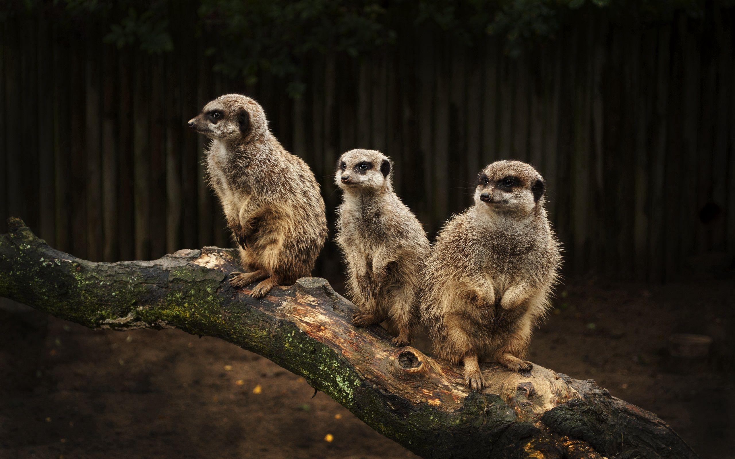 66973 download wallpaper Animals, Meerkats, Family, Hunting, Hunt, Fear, Misgiving screensavers and pictures for free
