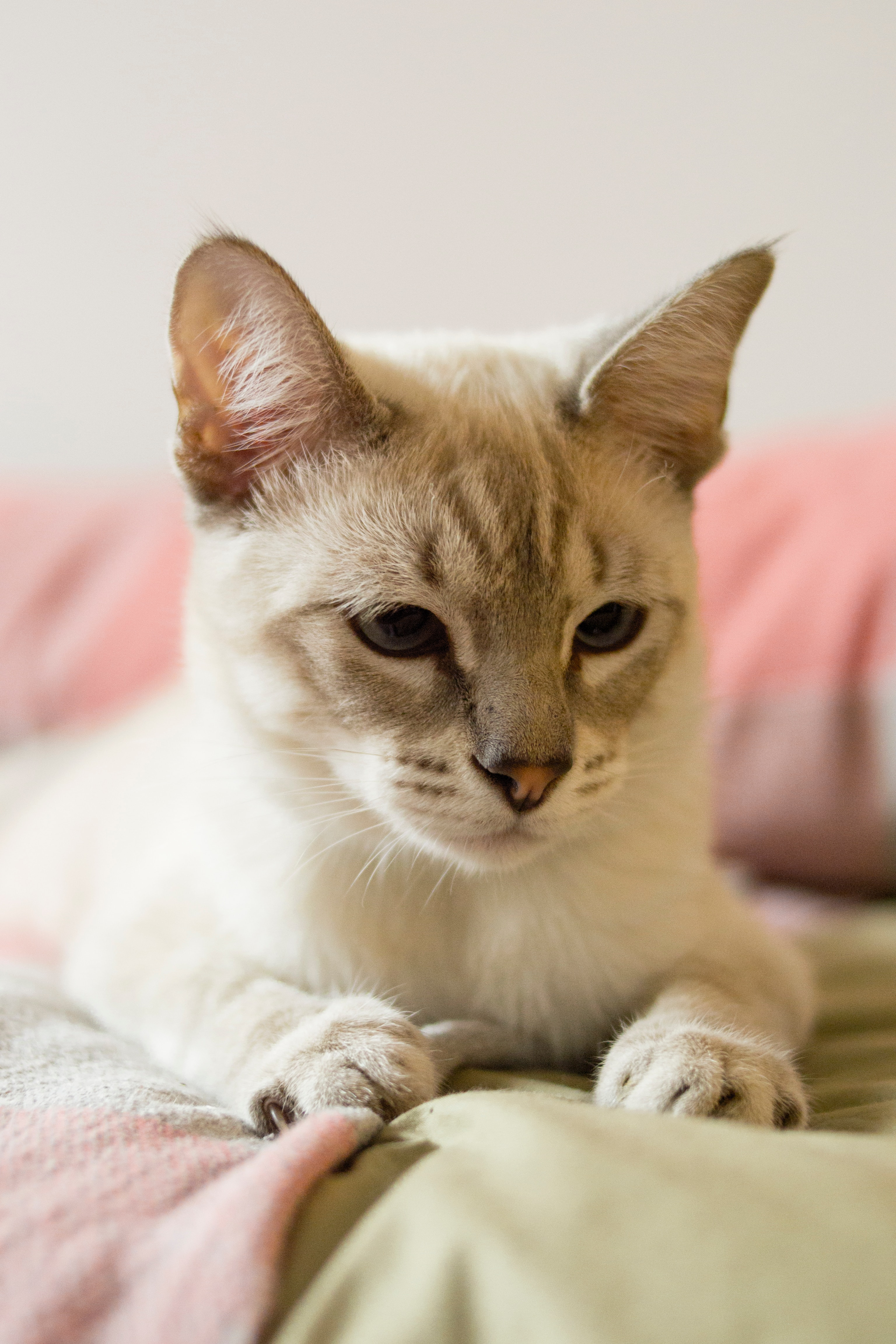101786 download wallpaper Animals, Cat, Siamese, Grey, Pet, Sight, Opinion screensavers and pictures for free