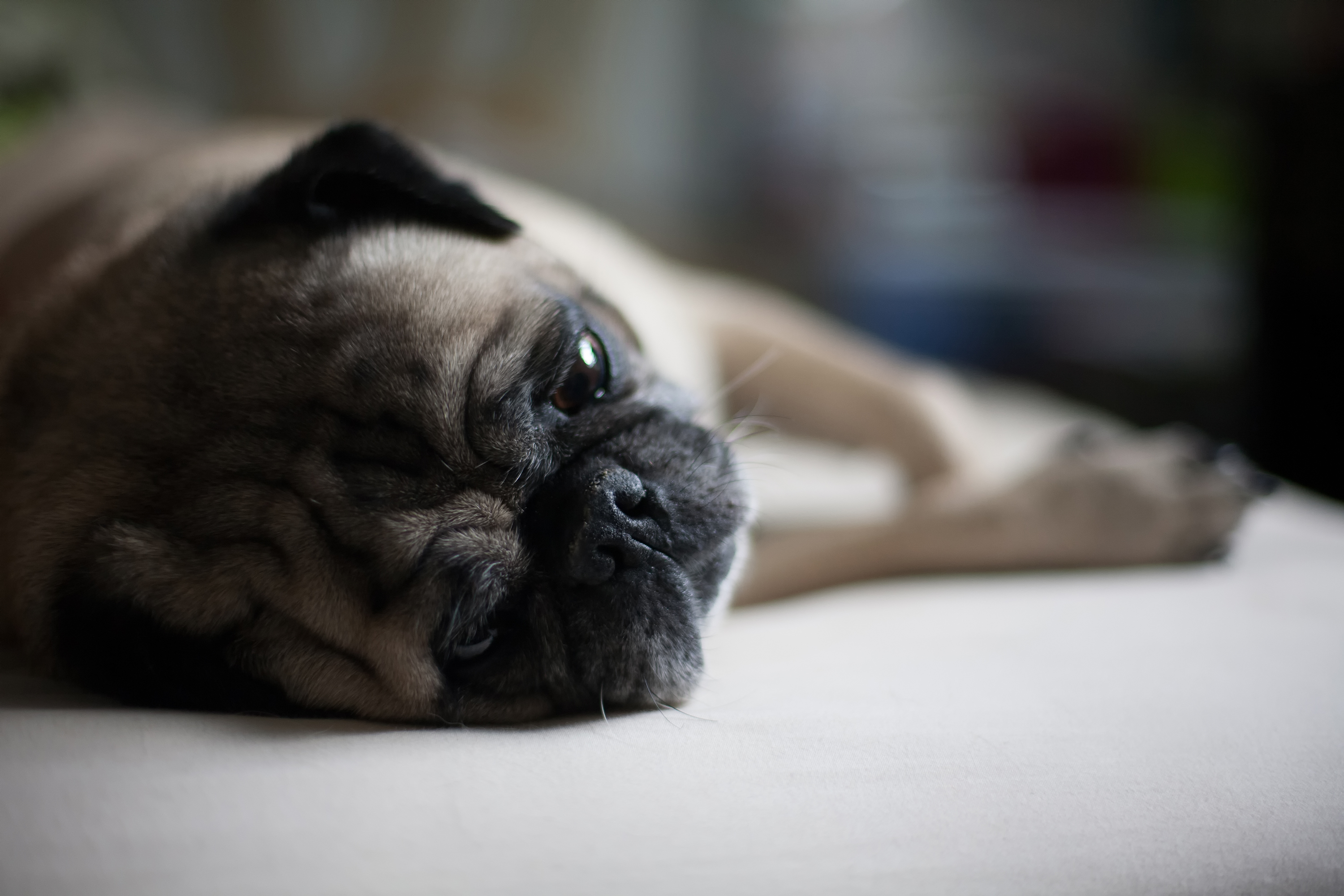 89271 download wallpaper Animals, Pug, Dog, Muzzle, Lies screensavers and pictures for free