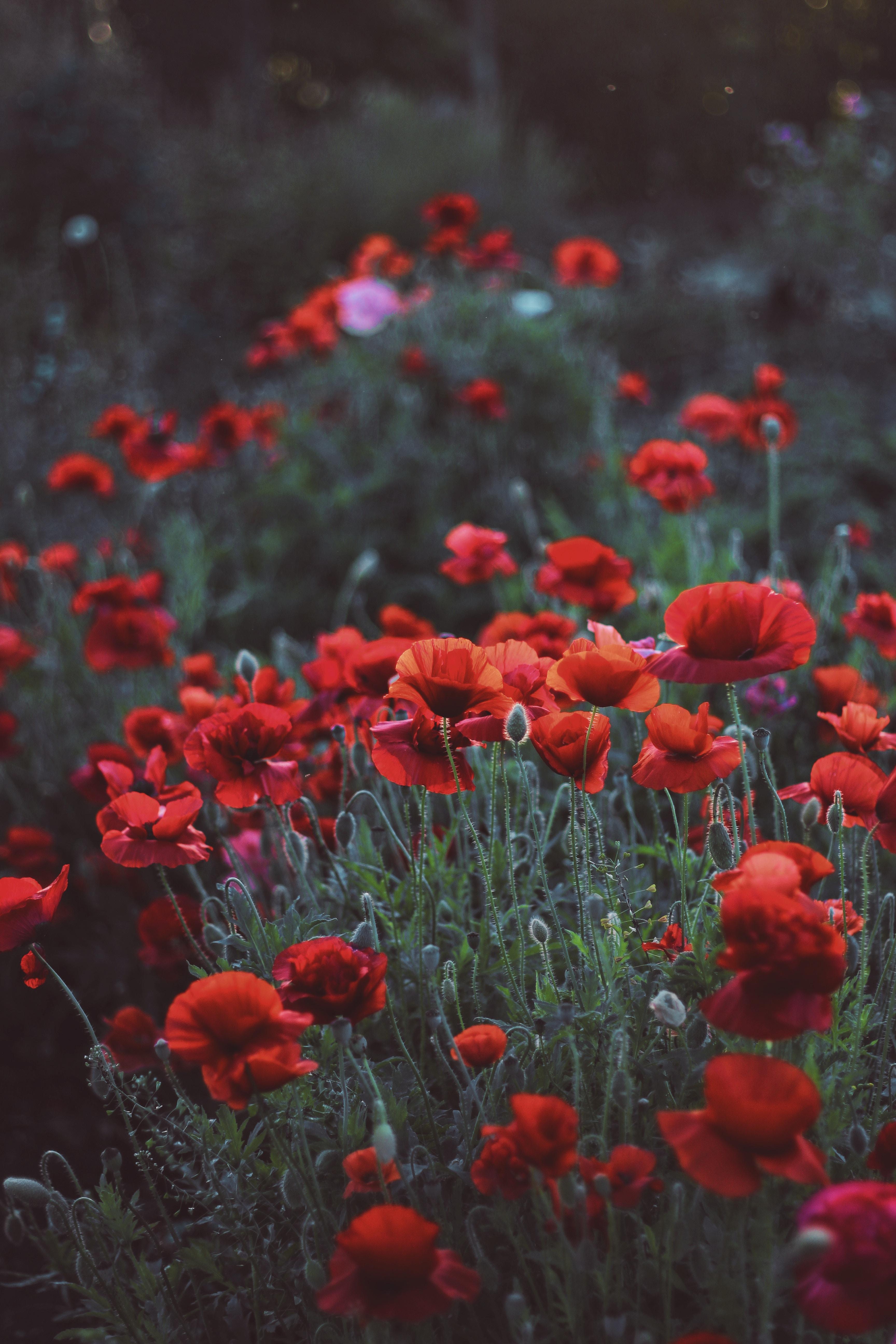 154568 скачать обои Цветы, Маки, Поле, Клумба - заставки и картинки бесплатно