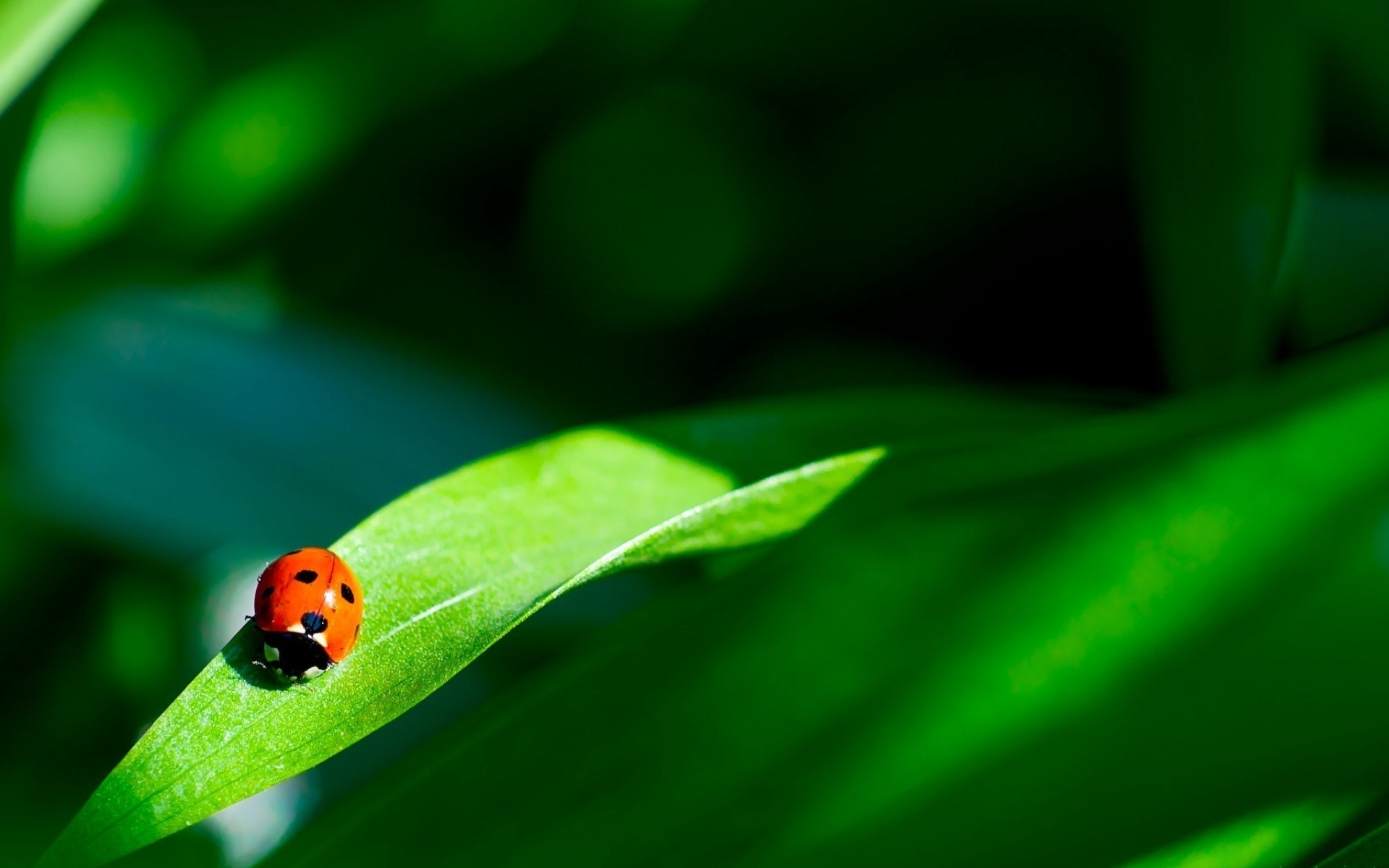 32083 download wallpaper Insects, Ladybugs screensavers and pictures for free