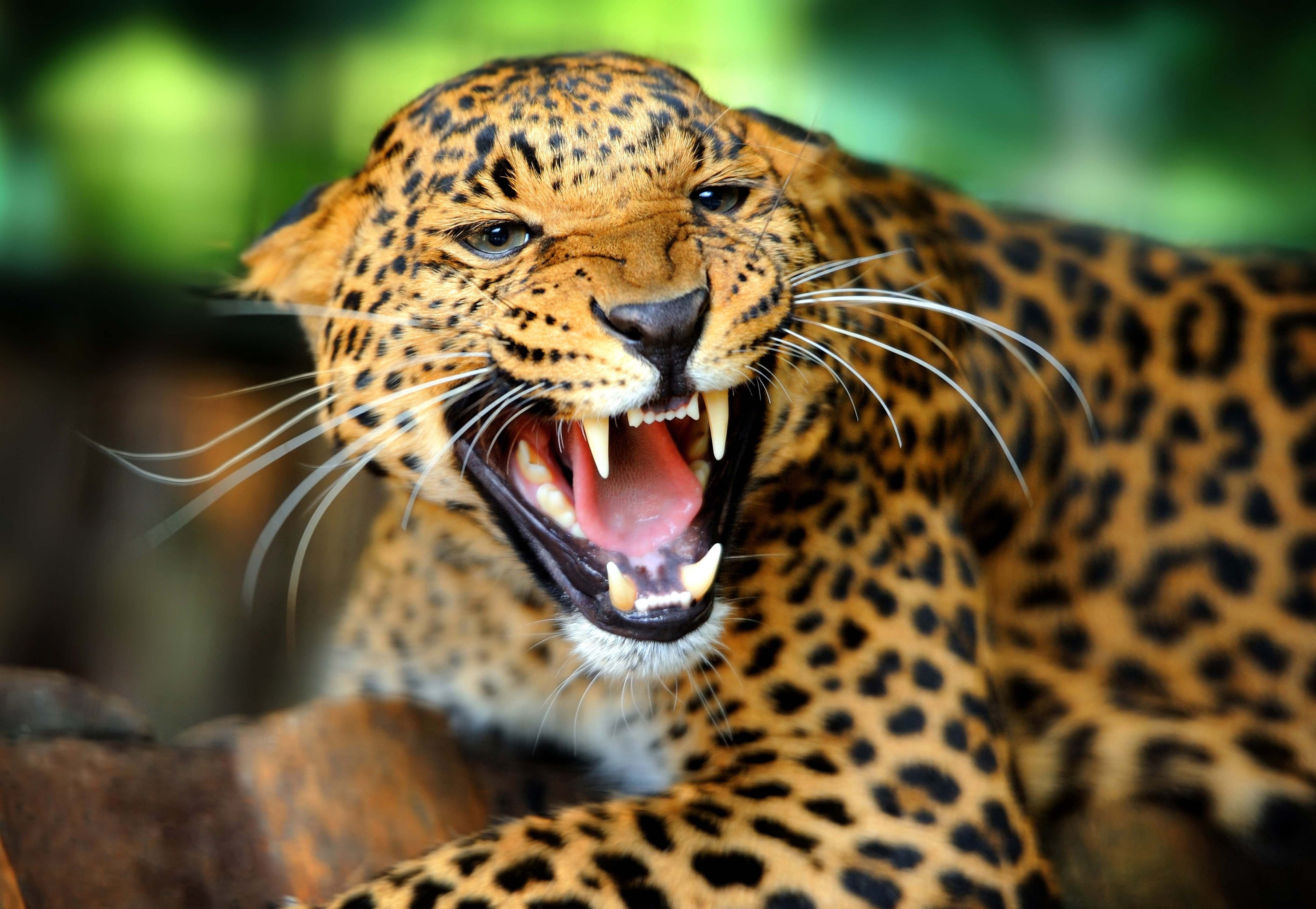 57799 download wallpaper Animals, Leopard, Grin, To Fall, Mouth, Wild Cat, Wildcat, Roar, Rage screensavers and pictures for free