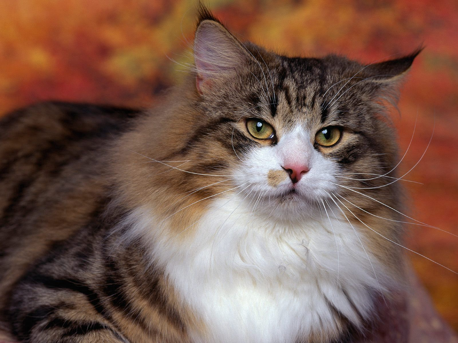 57784 Screensavers and Wallpapers Wool for phone. Download Animals, Cat, Fluffy, Sight, Opinion, Wool pictures for free
