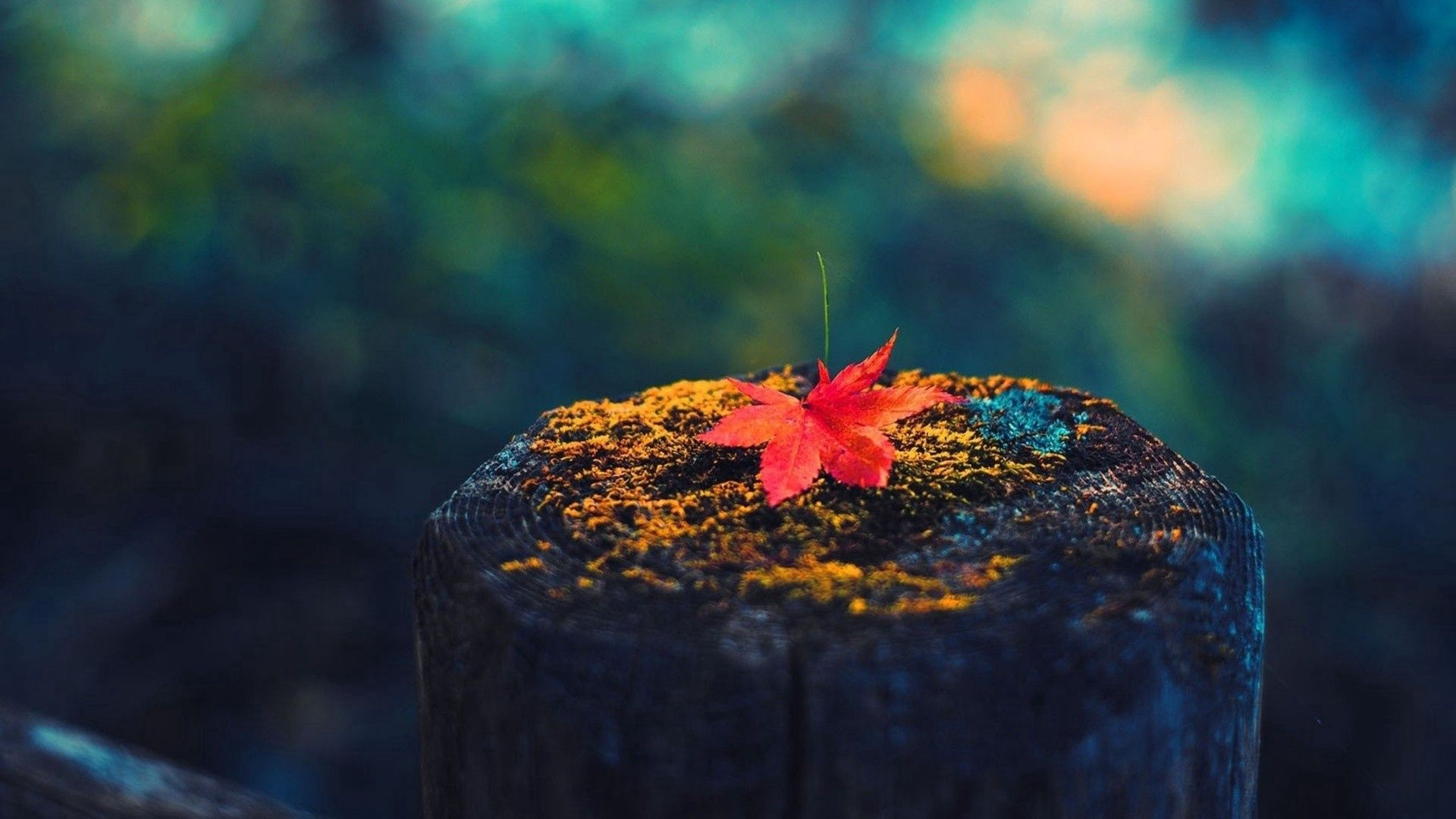 132278 download wallpaper Macro, Sheet, Leaf, Maple, Stump, Dry screensavers and pictures for free