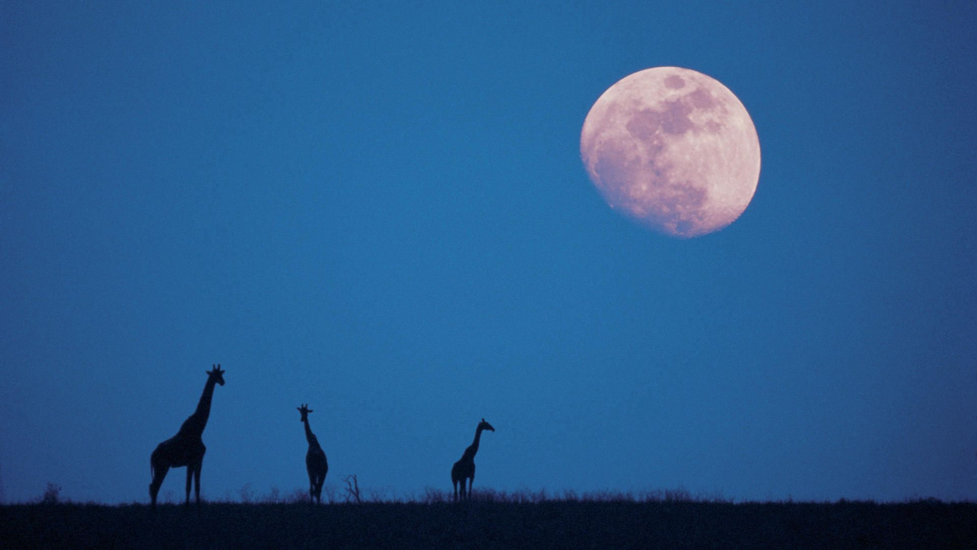 84779 download wallpaper Nature, Moon, Silhouettes, Dusk, Twilight, Giraffes screensavers and pictures for free