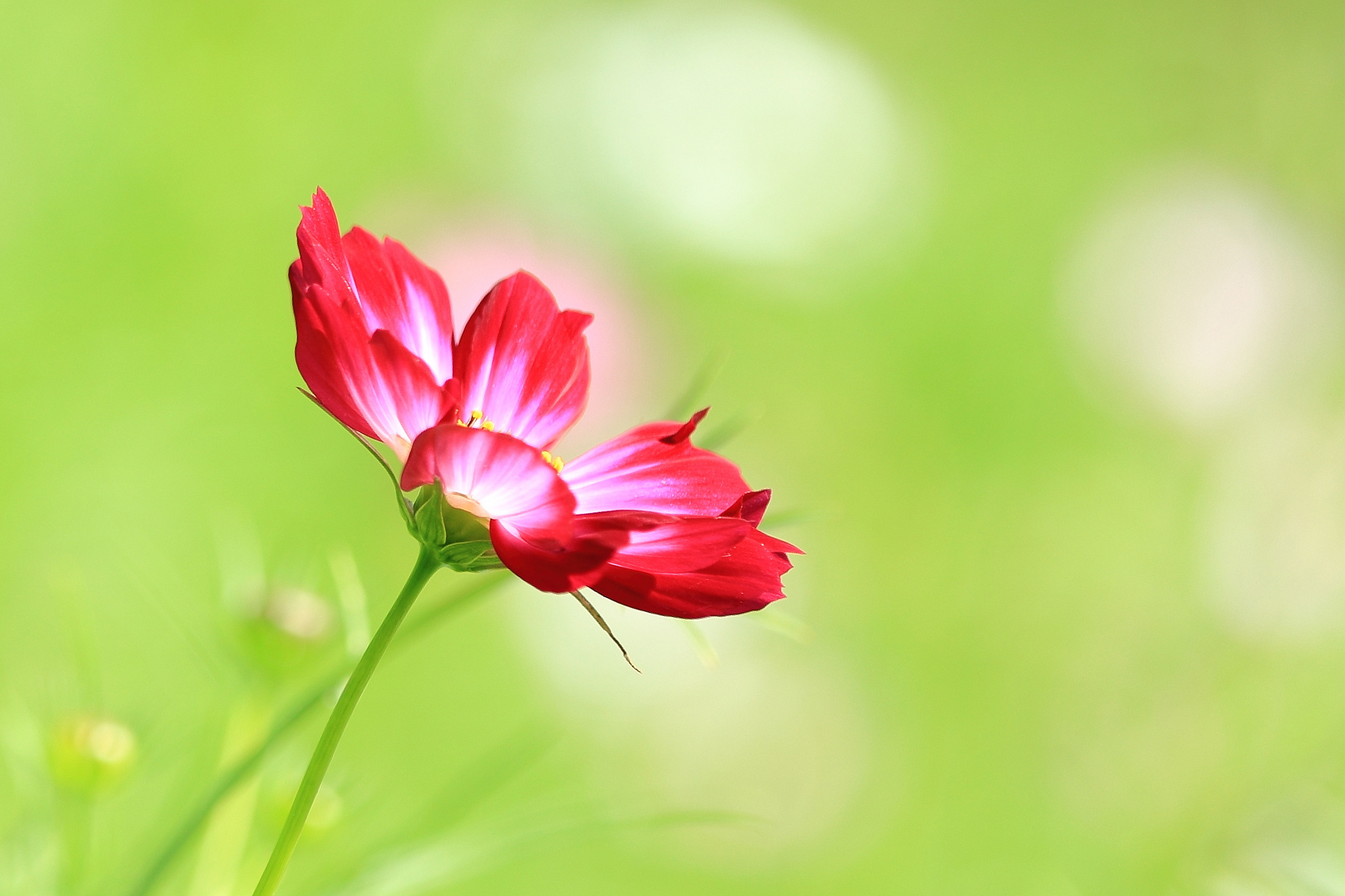 138505 Screensavers and Wallpapers Petals for phone. Download Flower, Macro, Petals, Kosmeya, Cosmos pictures for free