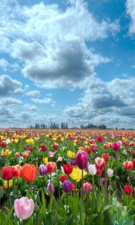 20097 скачать обои Растения, Пейзаж, Цветы, Поля, Небо, Тюльпаны, Облака - заставки и картинки бесплатно