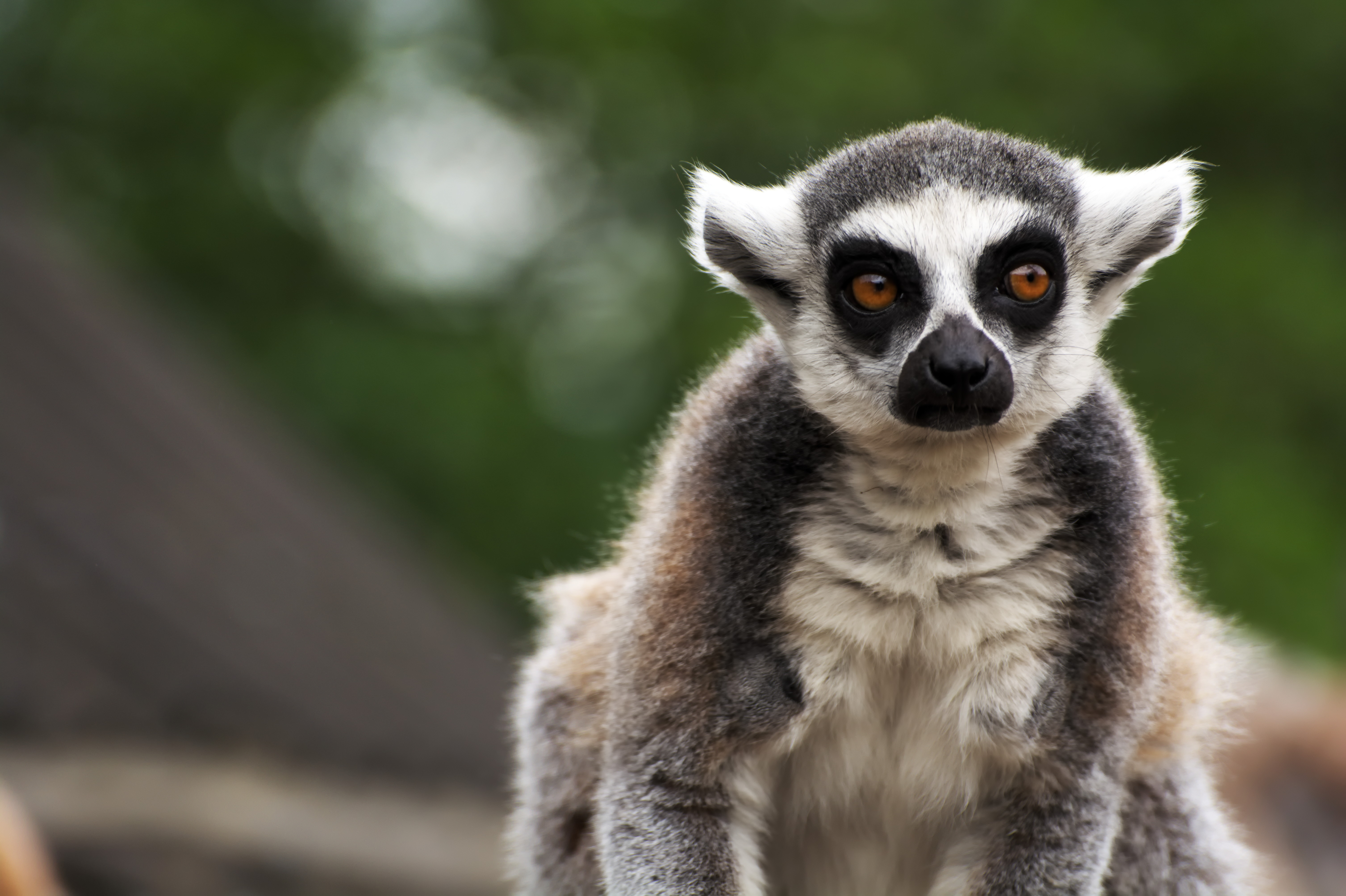 73386 download wallpaper Animals, Lemur, Animal, Sight, Opinion, Funny, Focus screensavers and pictures for free