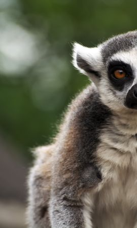 73386 Screensavers and Wallpapers Funny for phone. Download Animals, Lemur, Animal, Sight, Opinion, Funny, Focus pictures for free