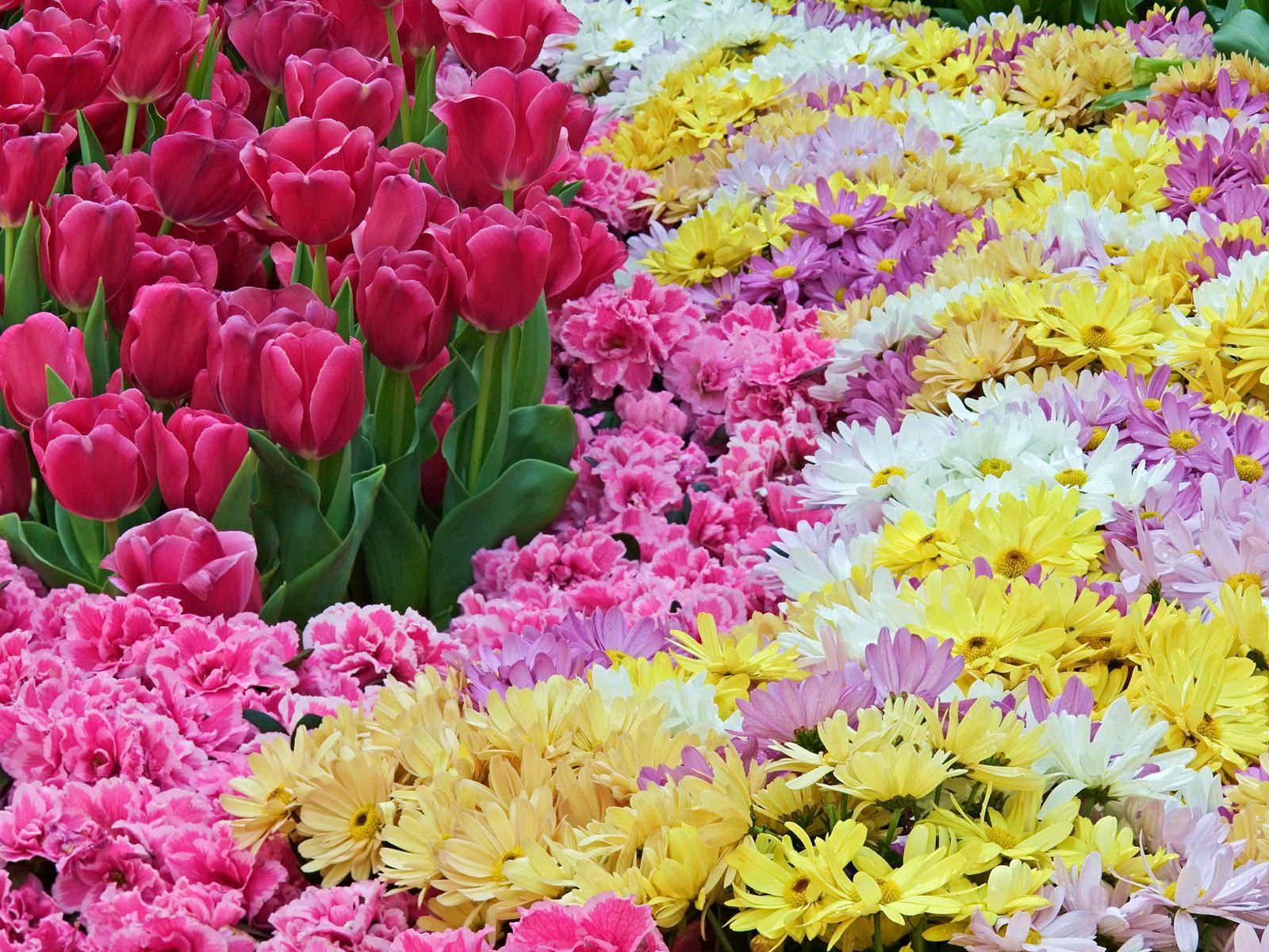 102578 скачать обои Цветы, Гвоздики, Ковер, Хризантемы, Тюльпаны - заставки и картинки бесплатно
