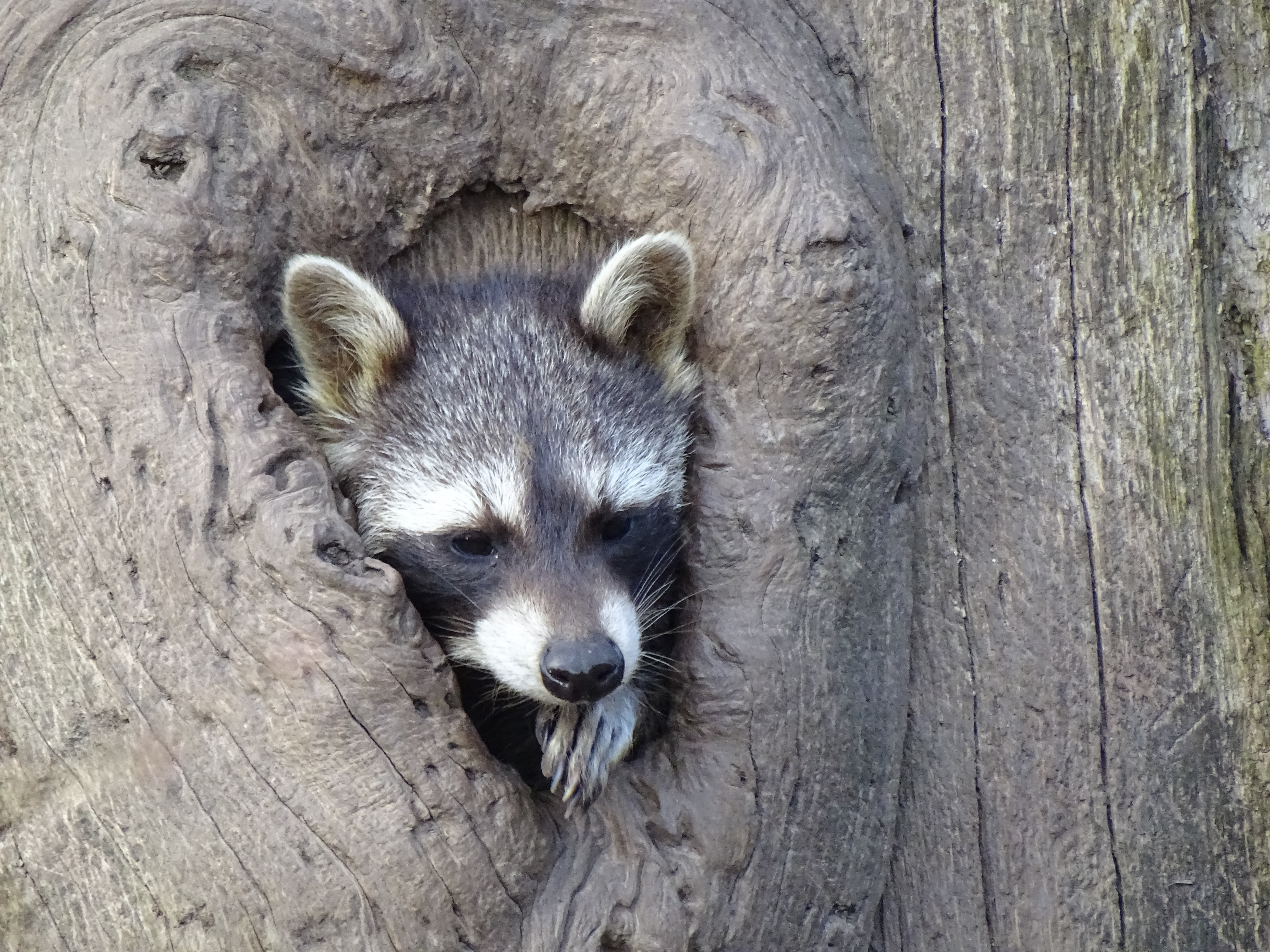 87545 Screensavers and Wallpapers Raccoon for phone. Download Animals, Wood, Tree, Muzzle, Striped, Hollow, Raccoon pictures for free