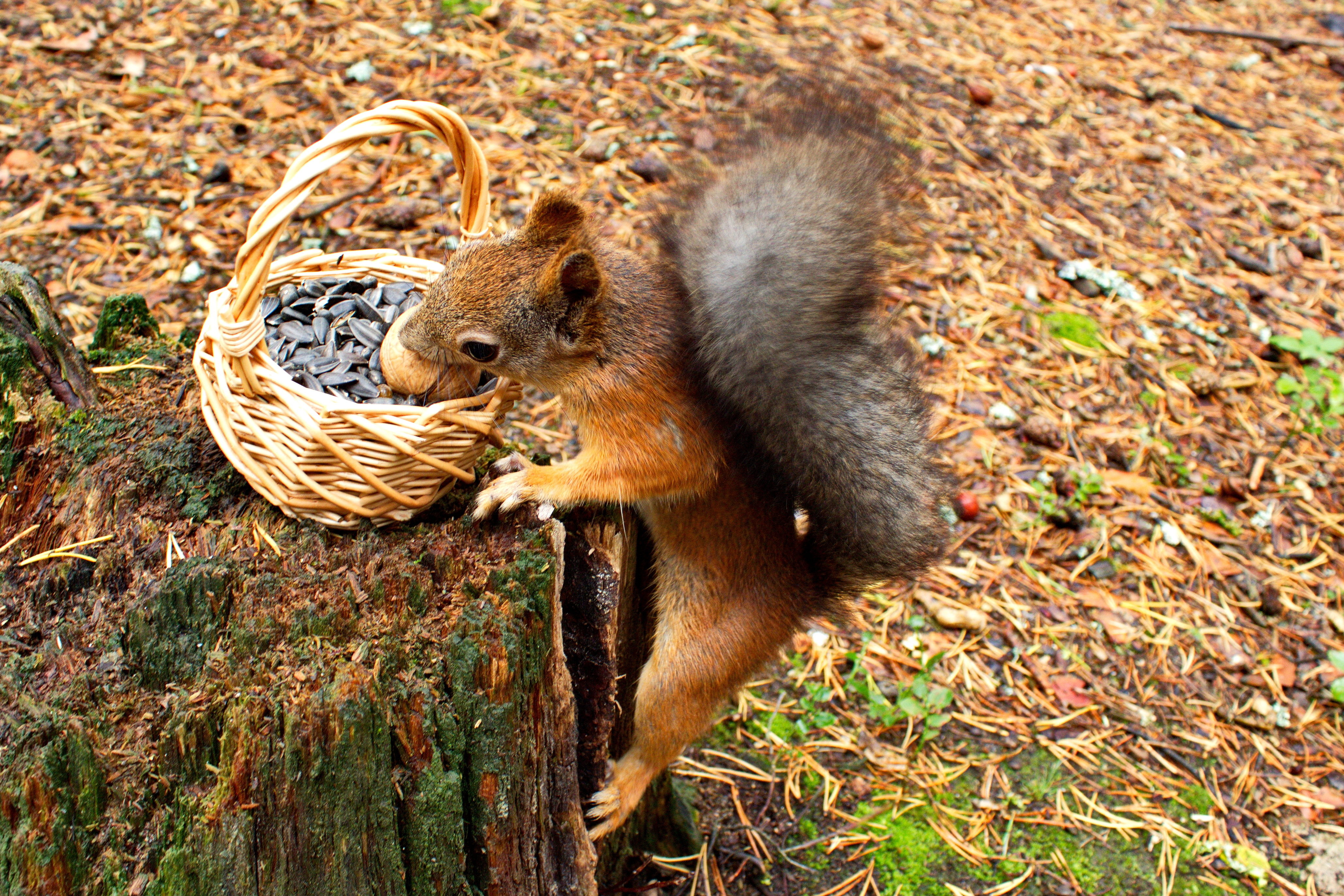 102920 download wallpaper Animals, Squirrel, Food, Basket, Stump, Penek, Seeds, Sunflower Seeds screensavers and pictures for free