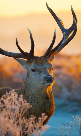 17921 download wallpaper Animals, Winter, Sunset, Deers screensavers and pictures for free